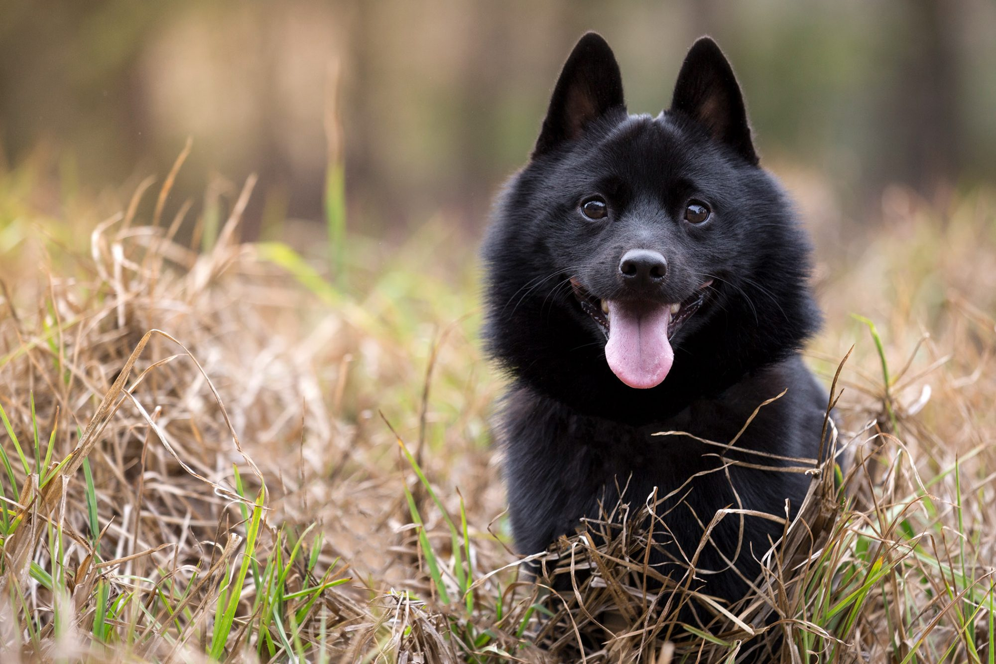 black schipperke standing in tall grass
