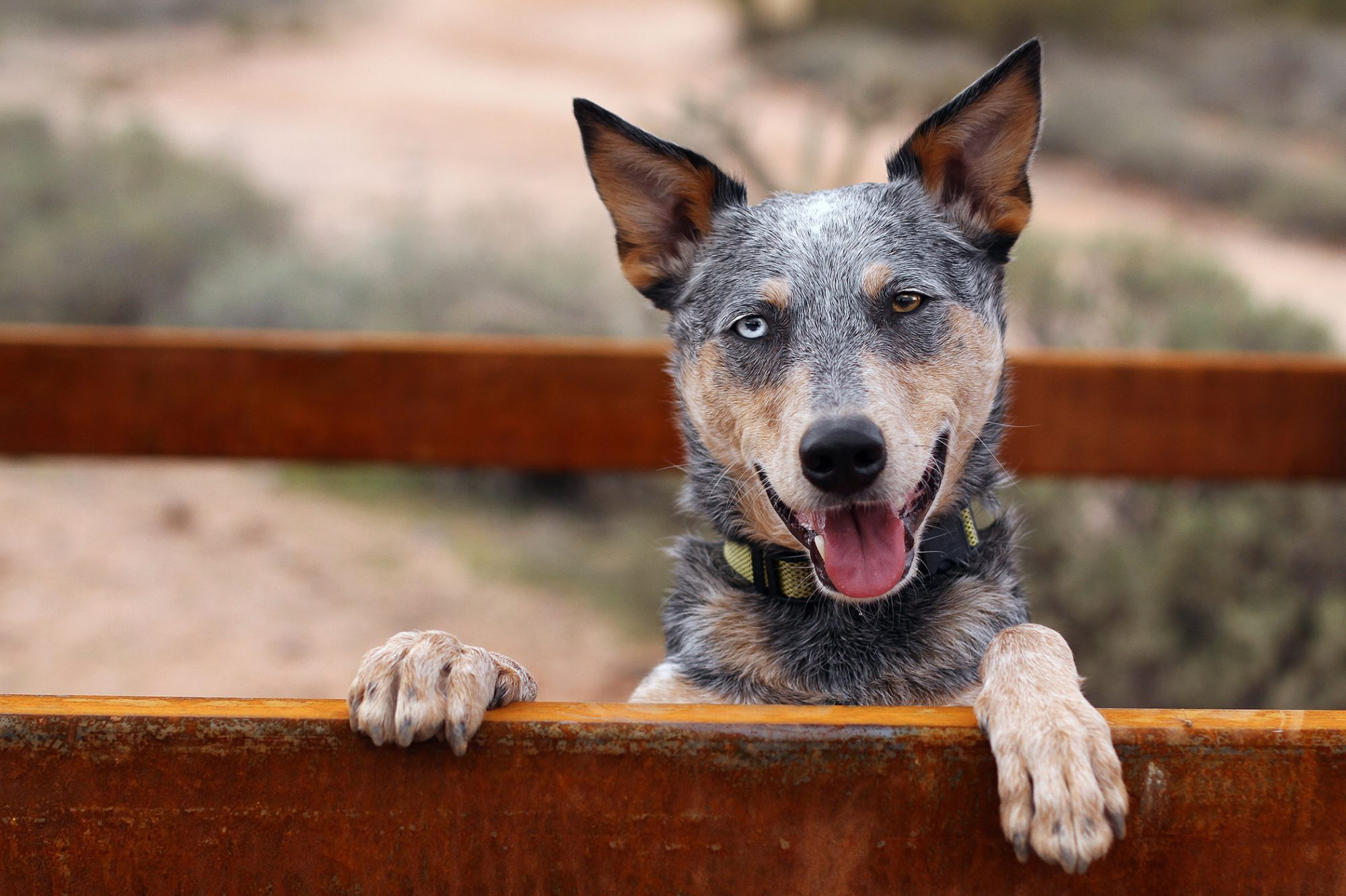 Austtralian cattle dog peering over fence