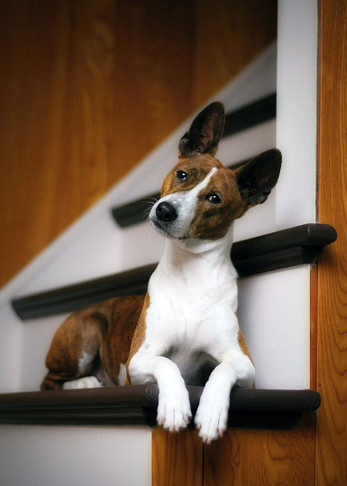 brown-and-white basenji on stairs