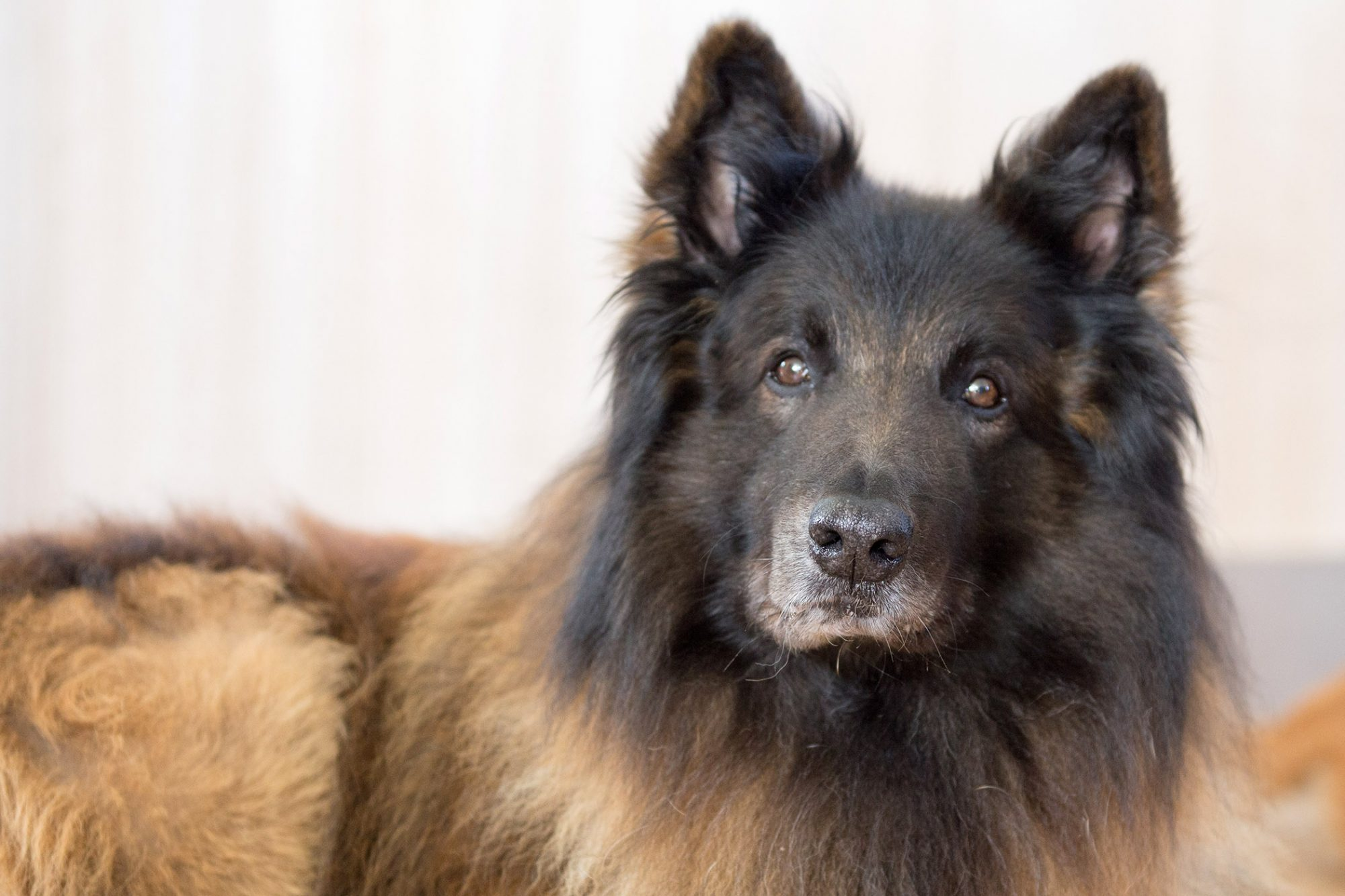 belgian tervuren lying down looking at camera