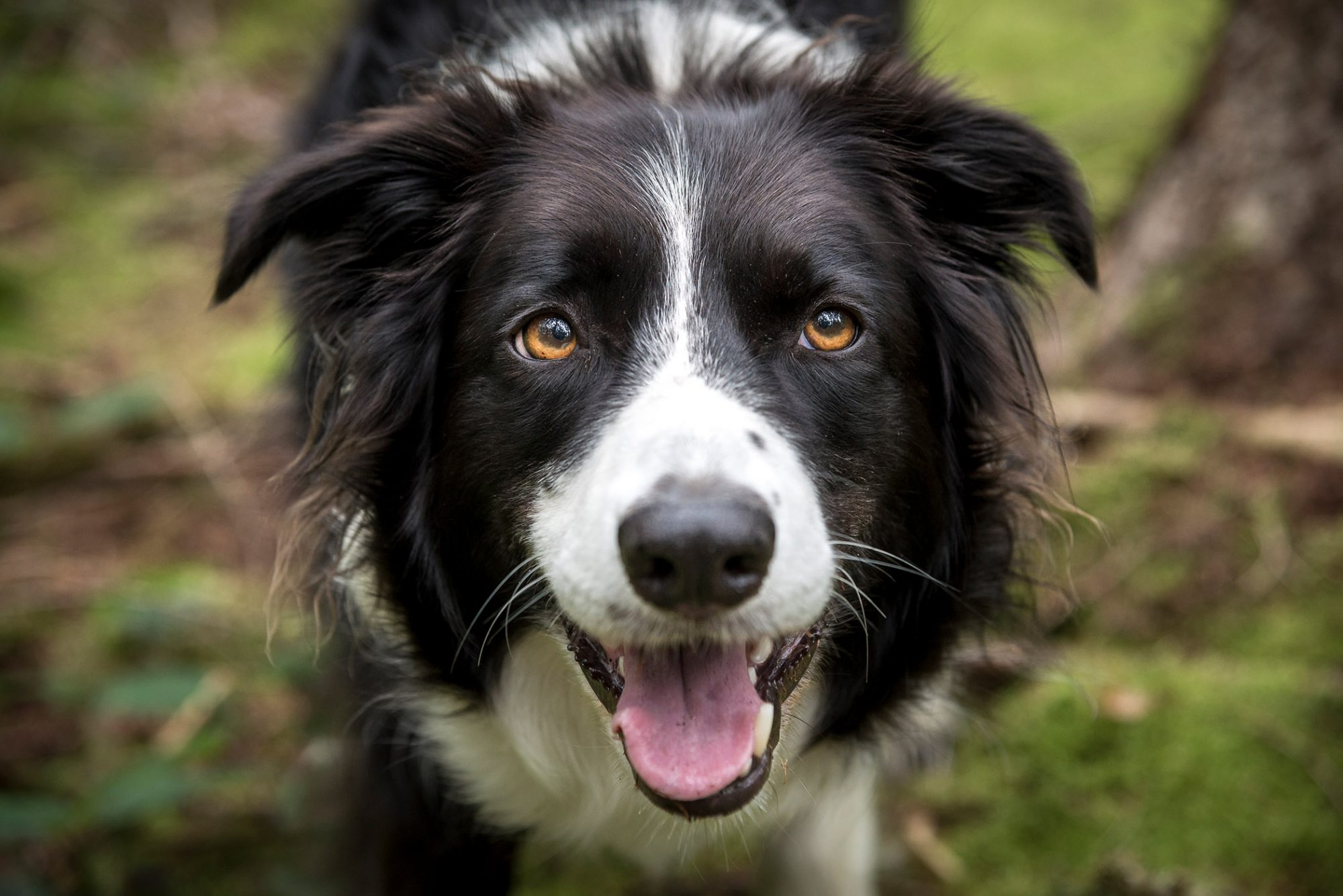 black-and-white border collie smiling at camera