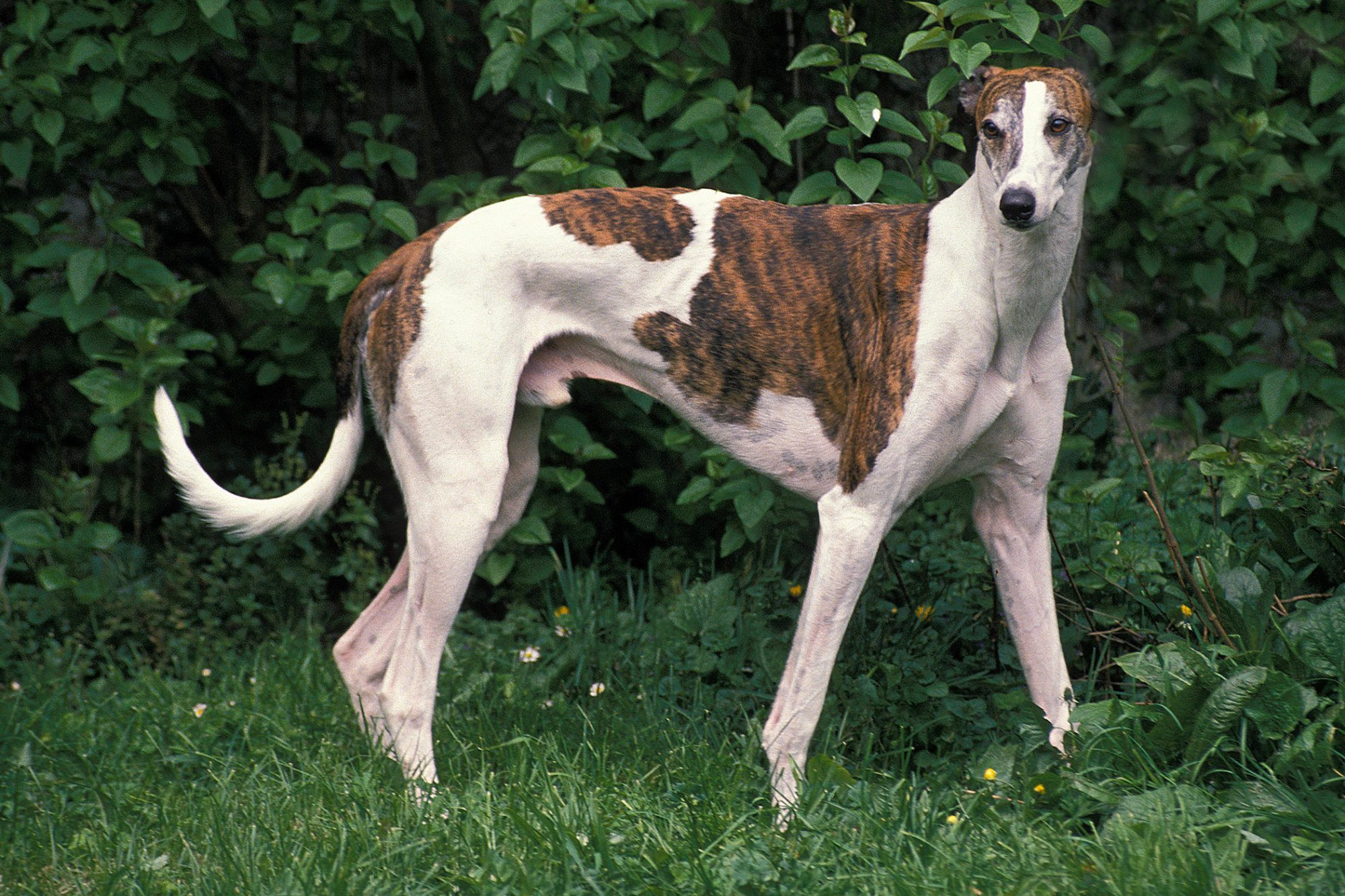 brindle and white greyhound against greenery