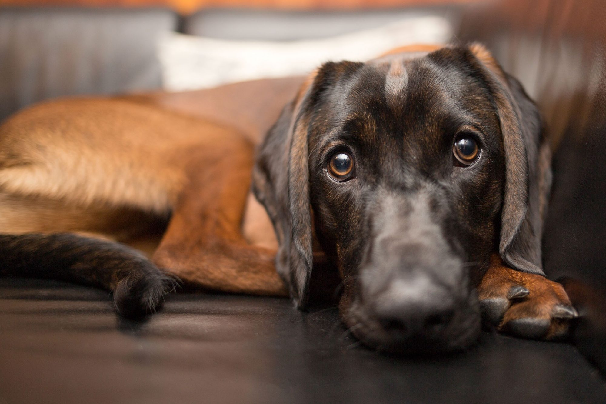 sad looking brown hound on sofa
