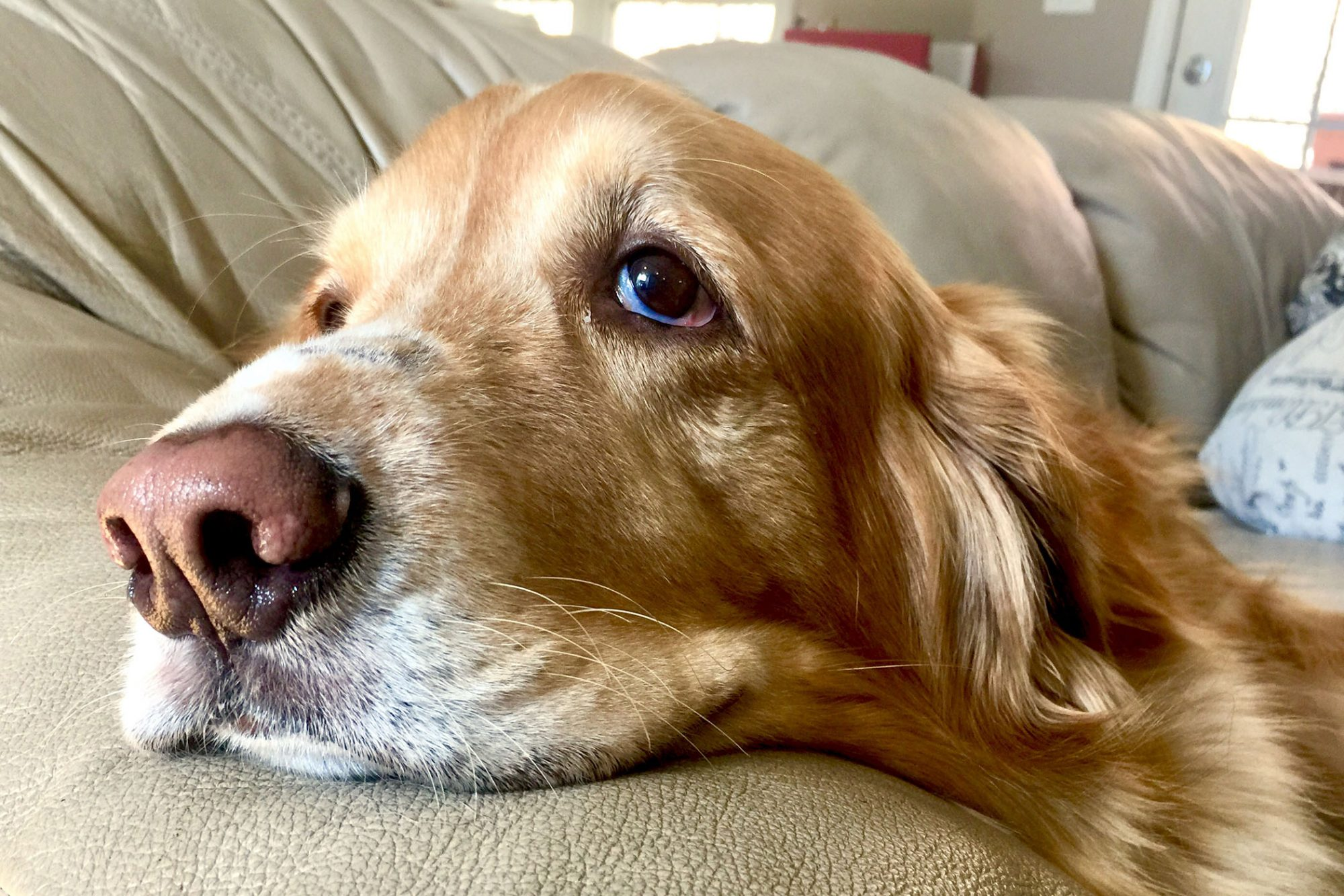 closeup of sad golden retriever on couch