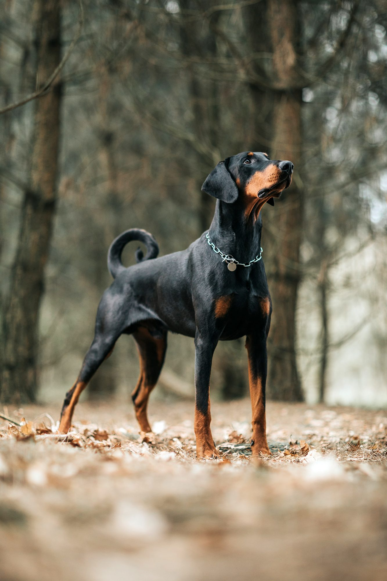 black-and-tan doberman pinscher standing in woods
