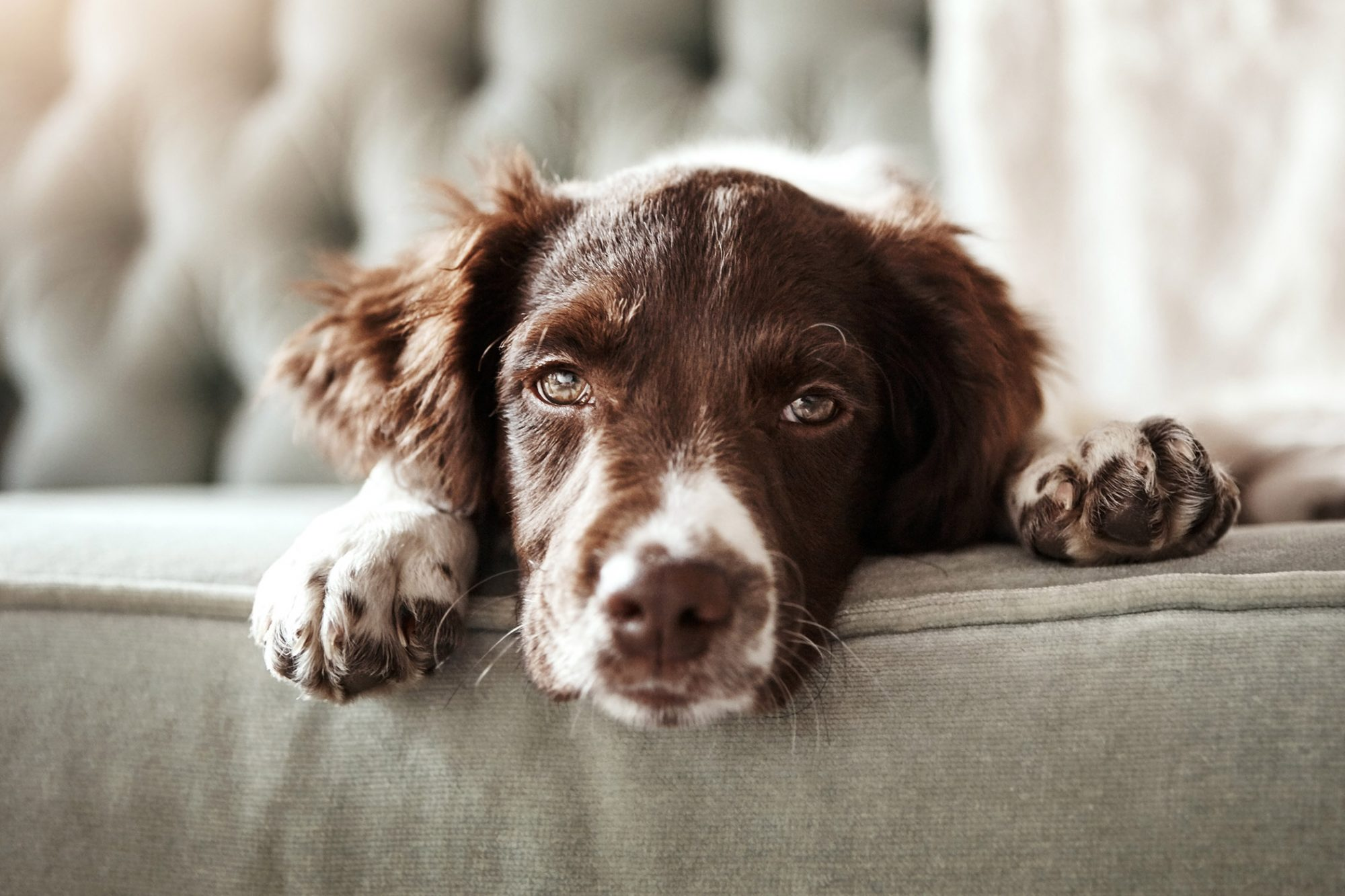 english springer spaniel lying on couch facing camera