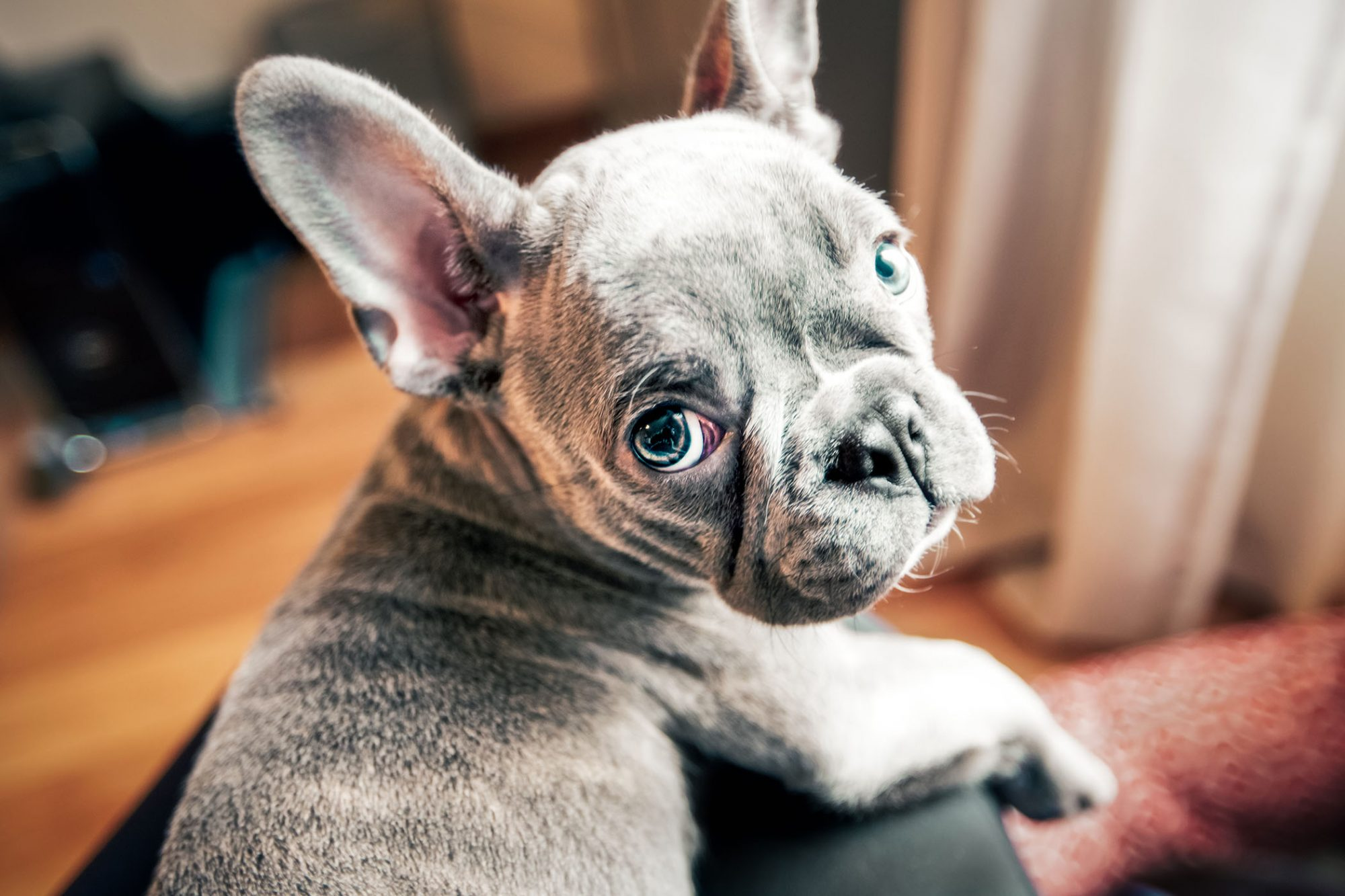 sad looking french bulldog puppy