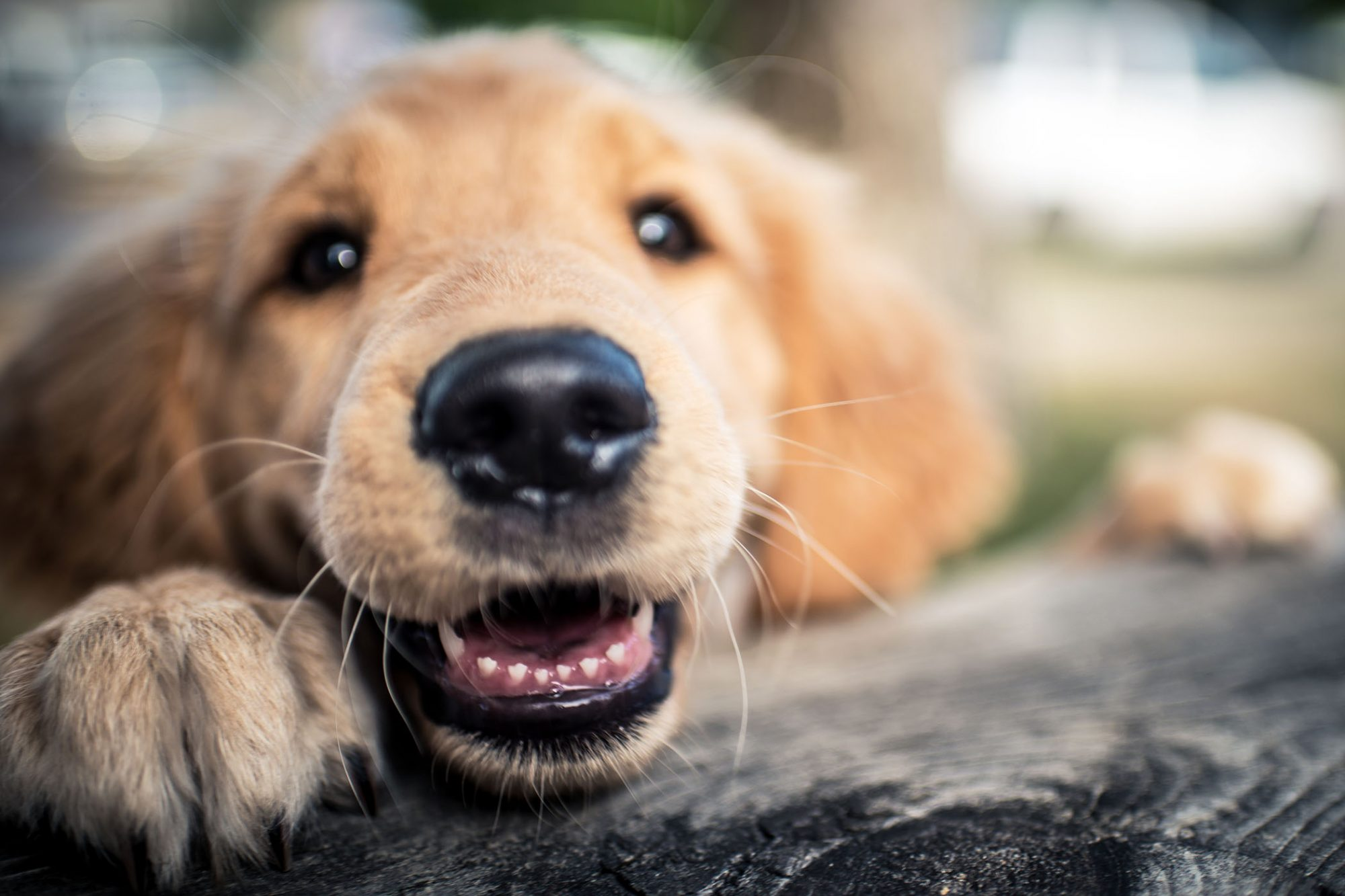 smiling golden retriever puppy showing teeth