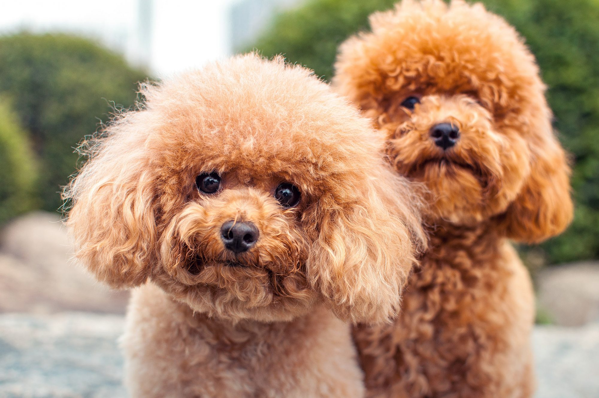 two rust-color miniature poodles