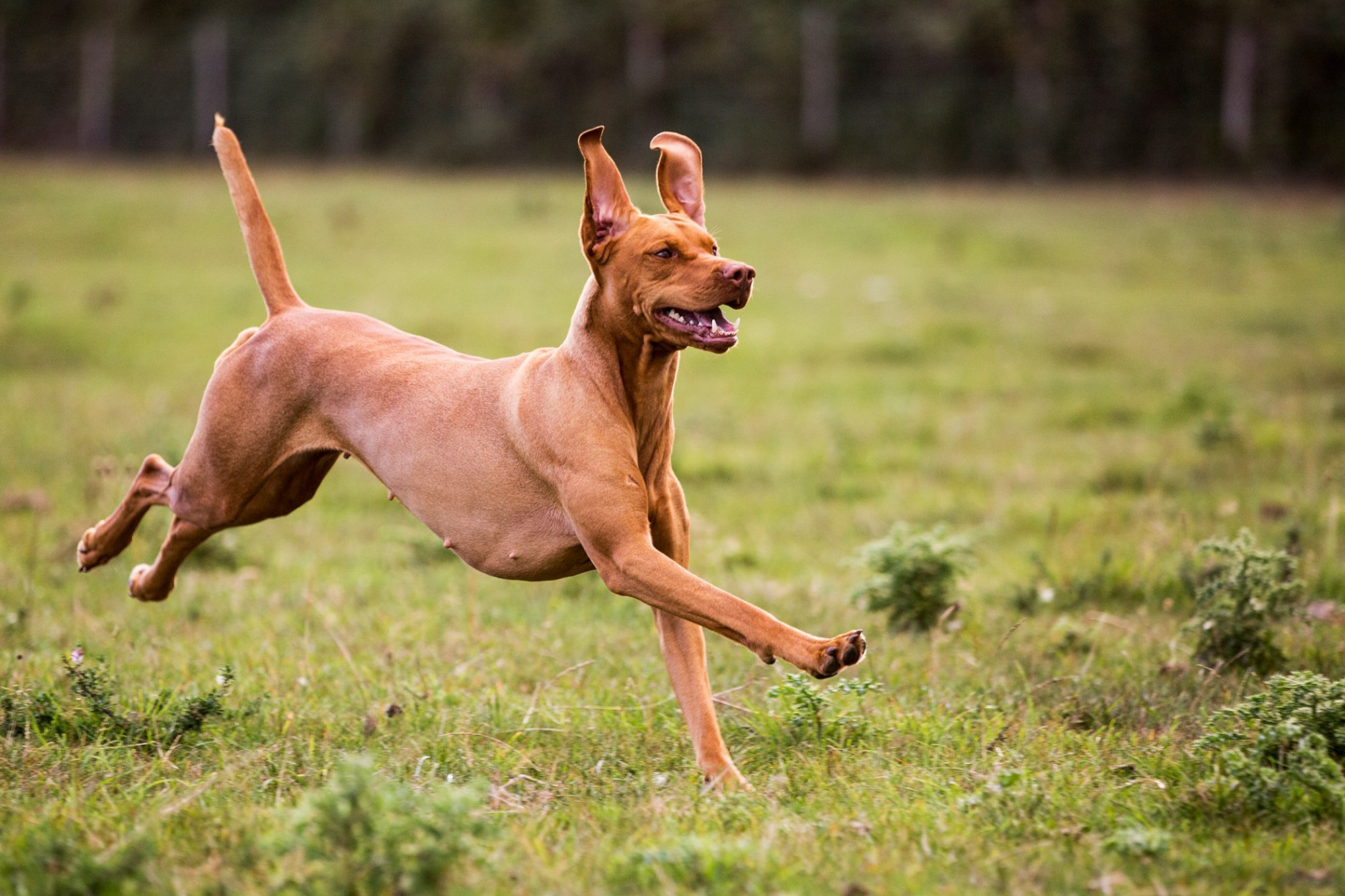vizsla dog running grassy field