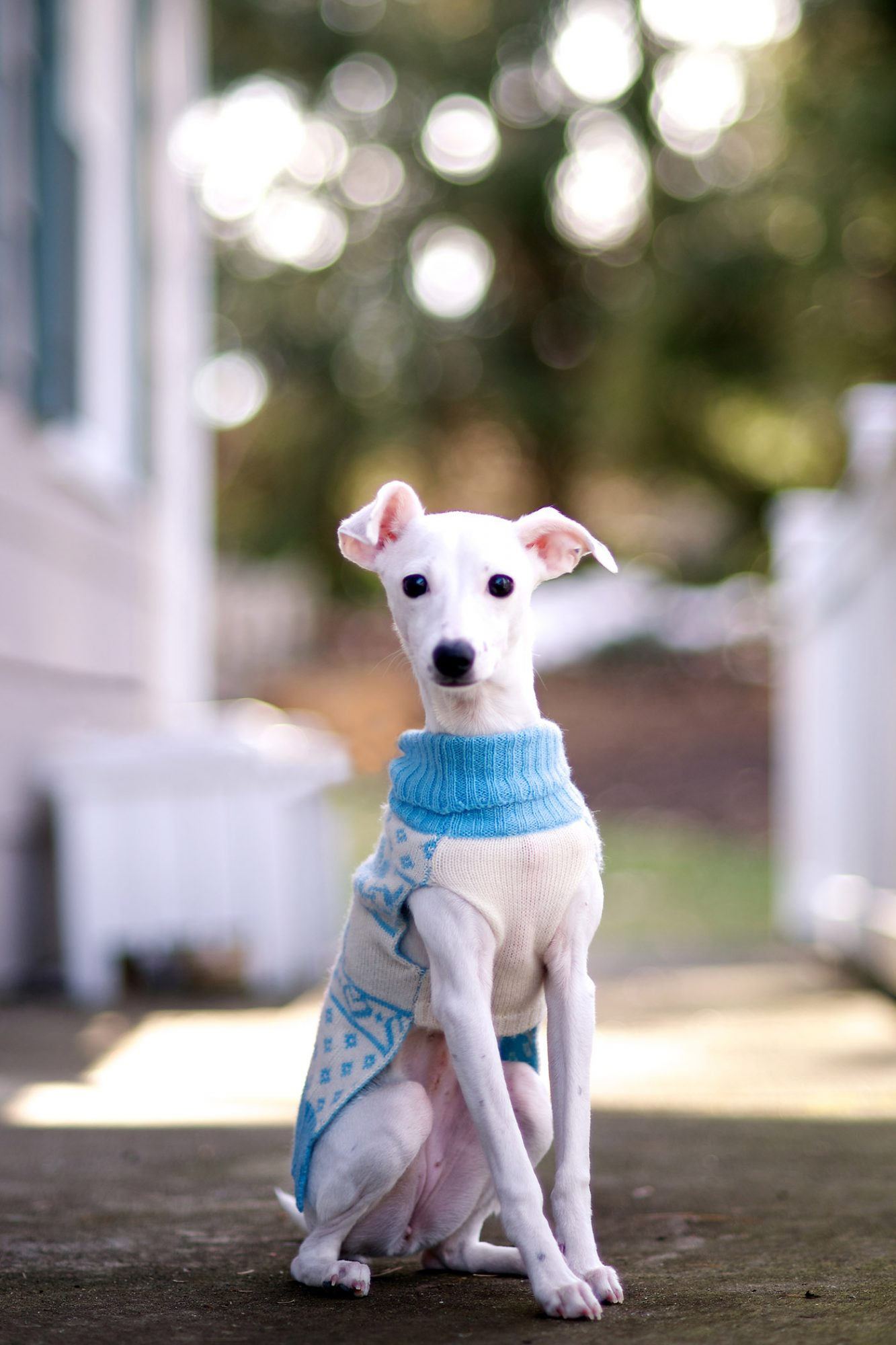 white italian greyhound wearing sweater