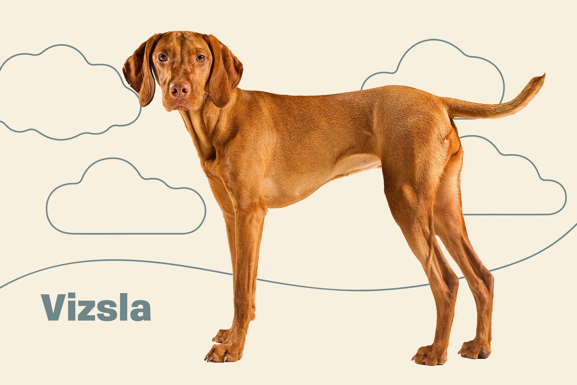 Vizsla Breed Photo