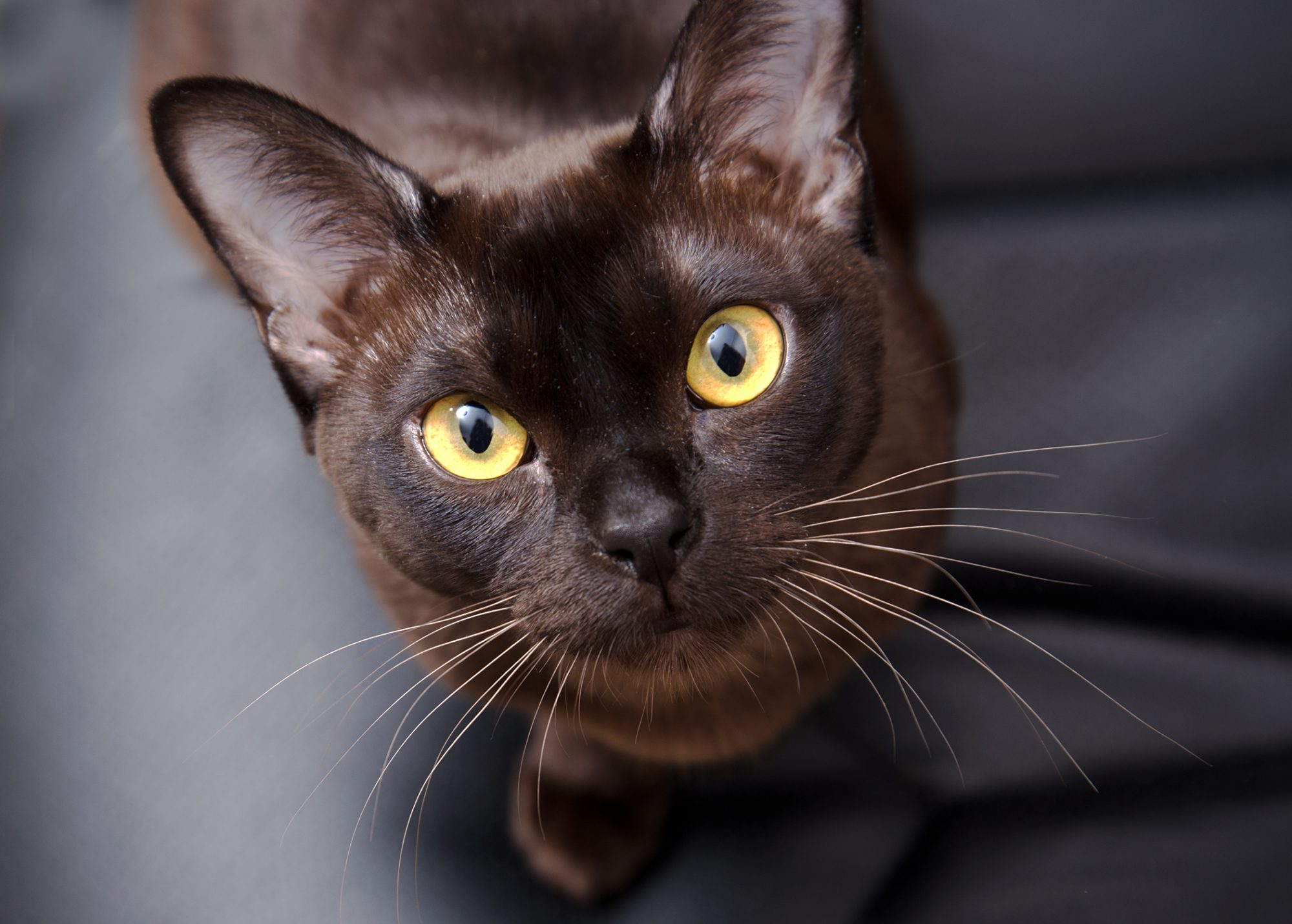 brown european burmese cat looking at camera