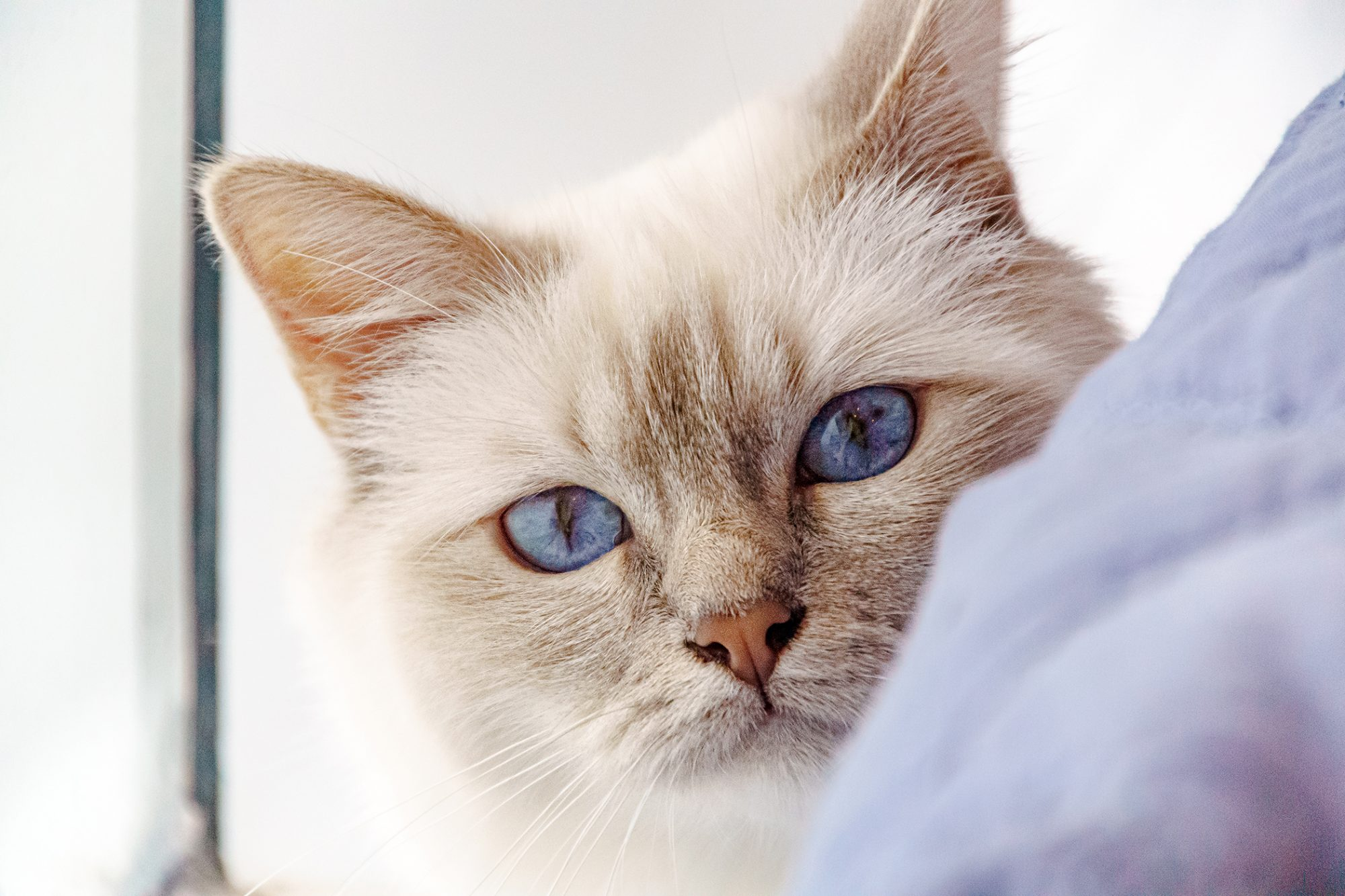 light color Birman kitten peeking around curtain