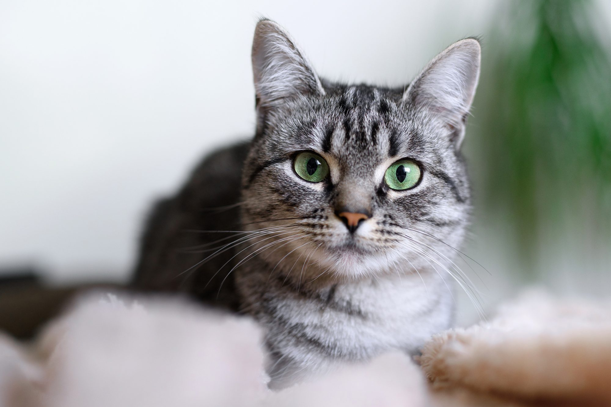 gray tabby American Shorthair cat