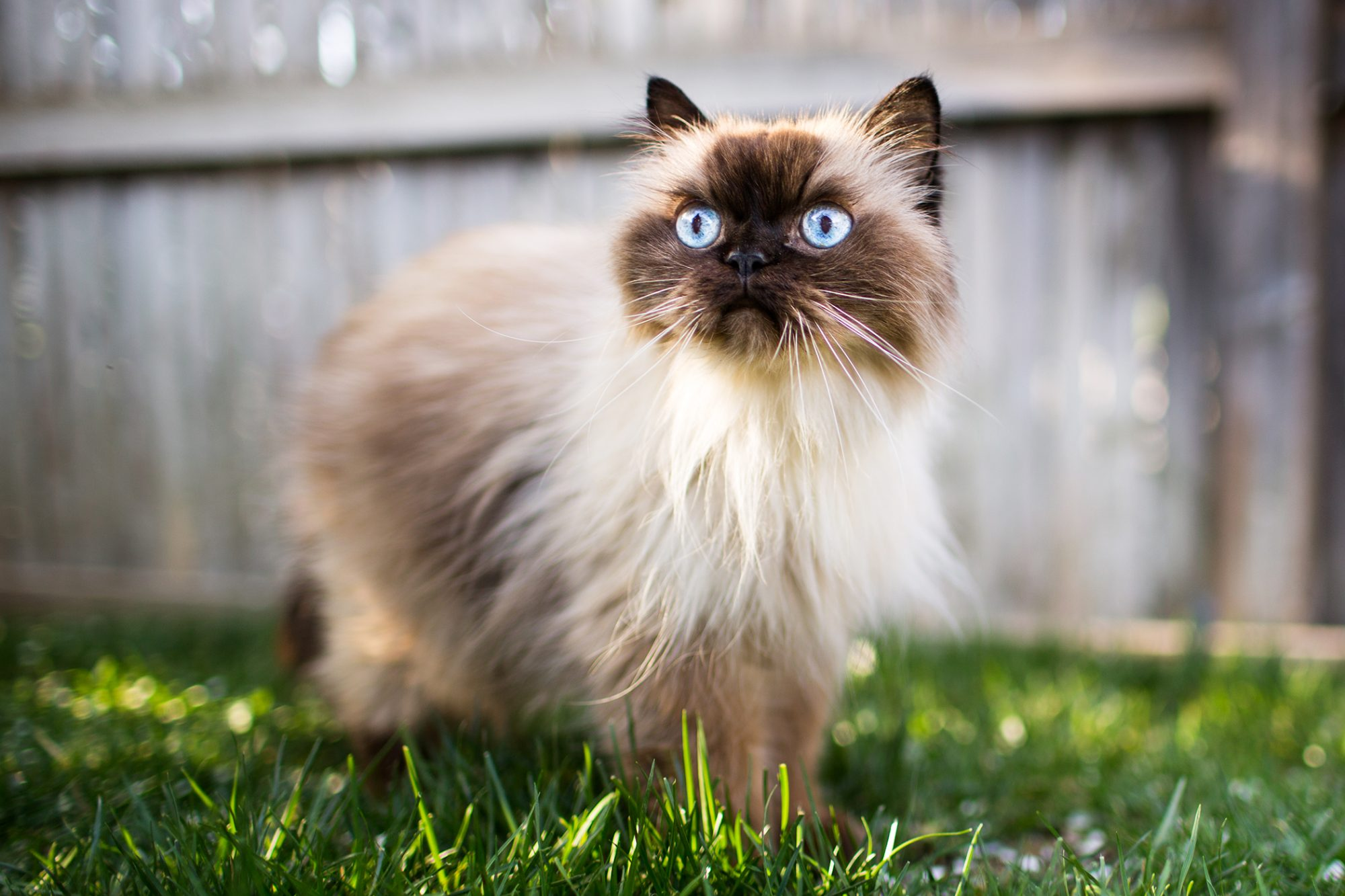 himalayan cat walking in the grass