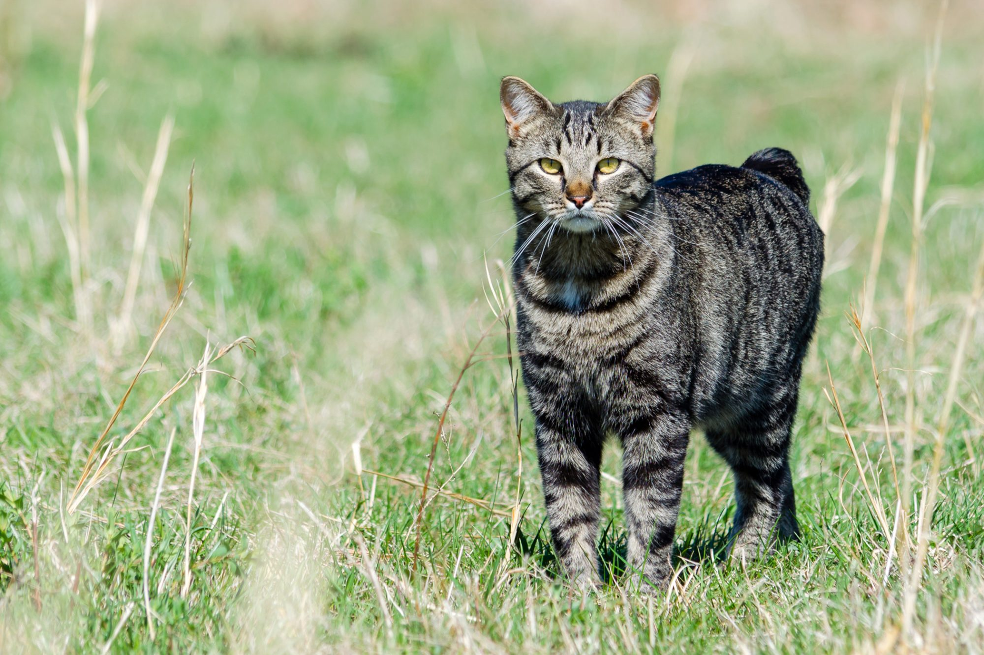 manx cat standing in field