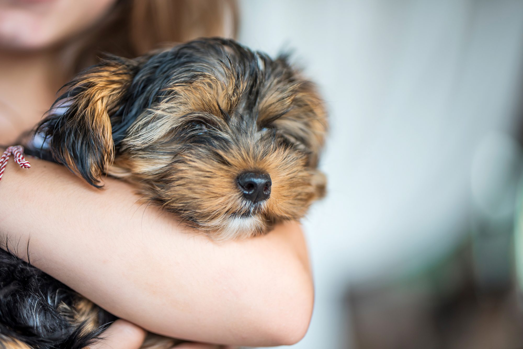 terrier puppy in girl's arm