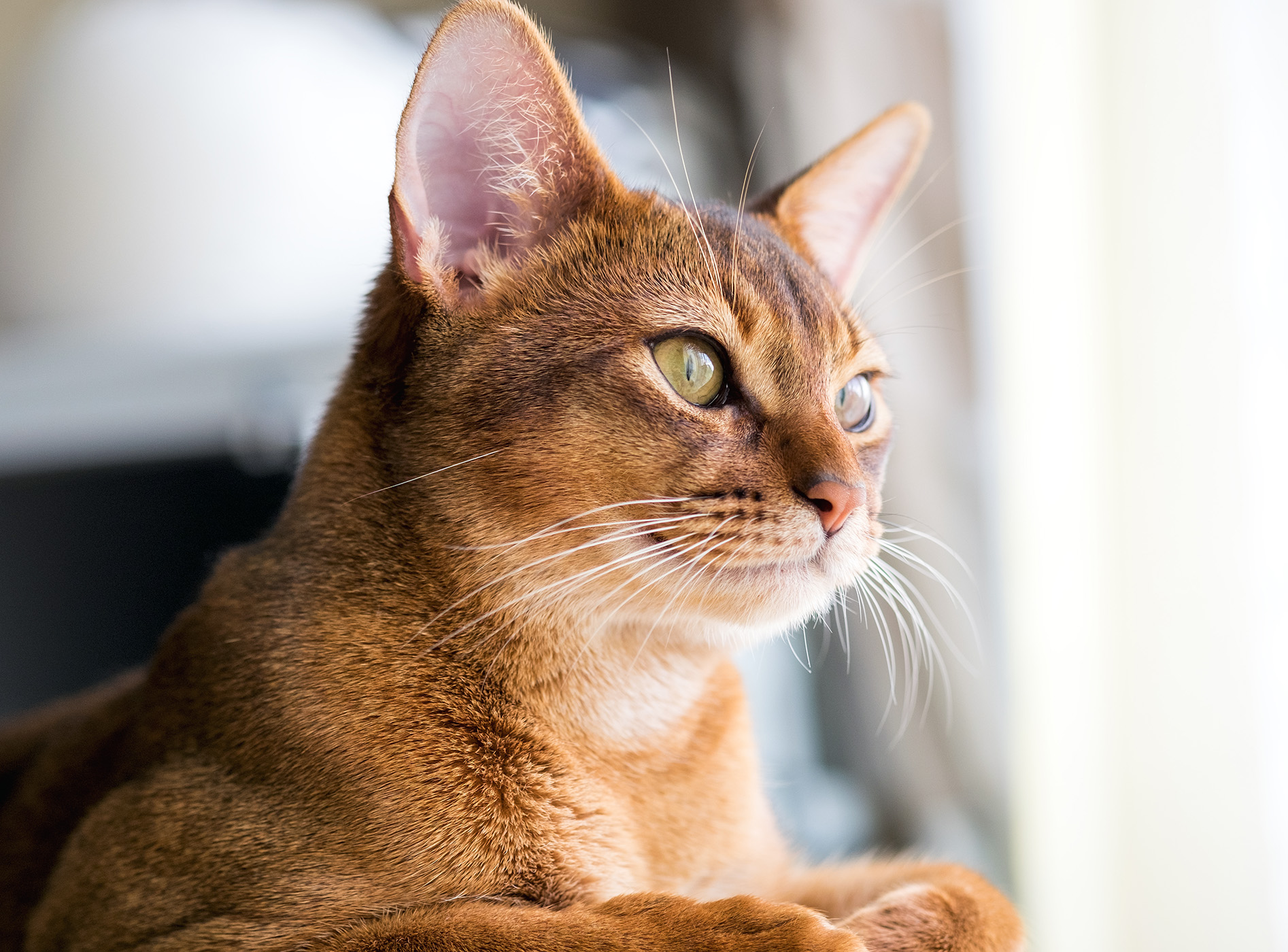 red abyssinian sitting in window sill