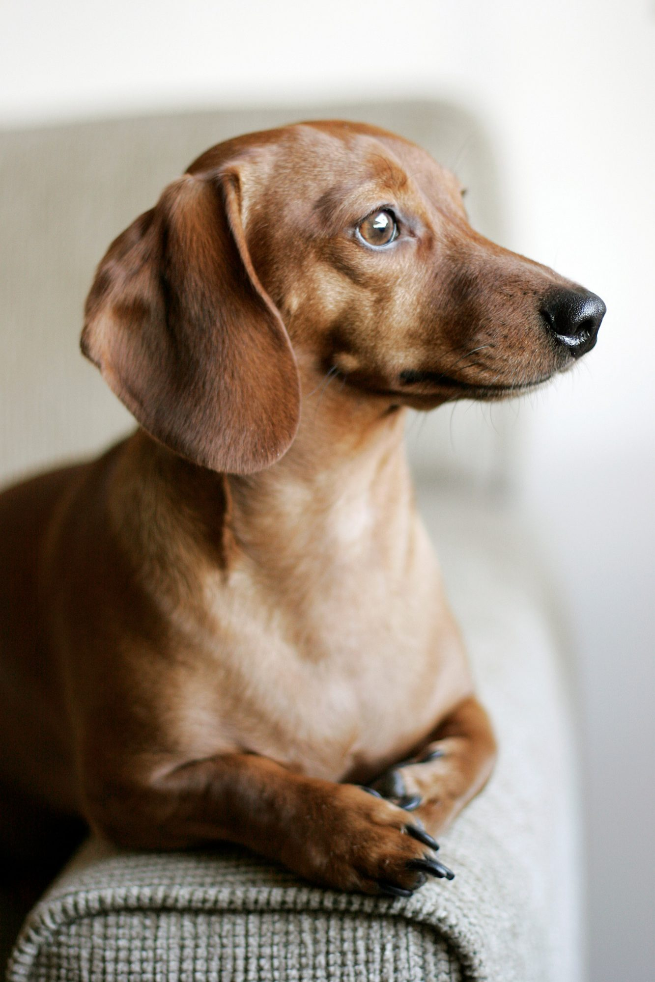 red smooth coat dachshund