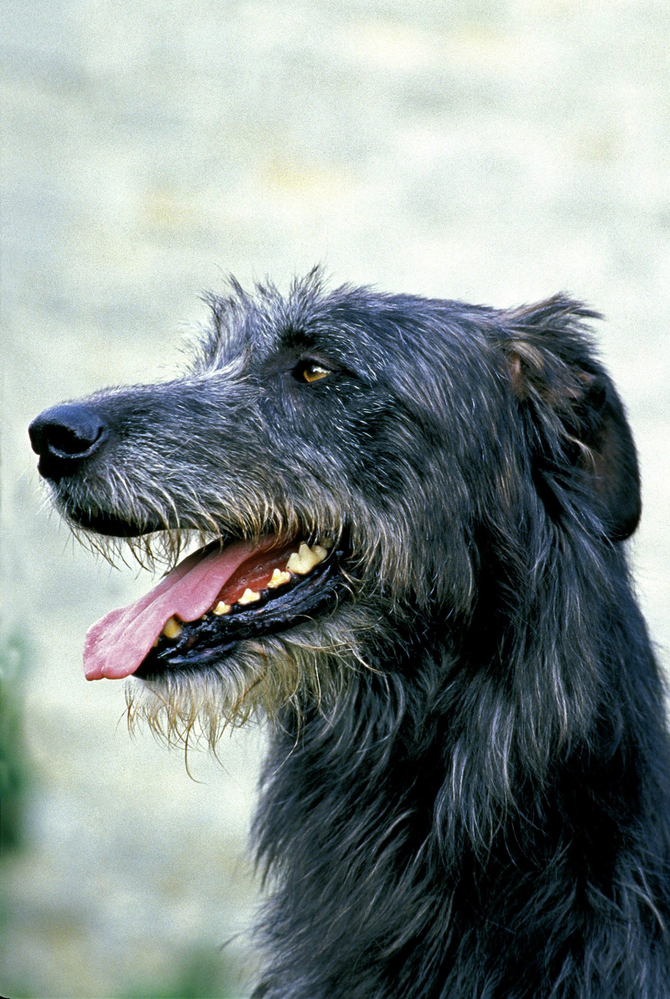 black irish wolfhound headshot