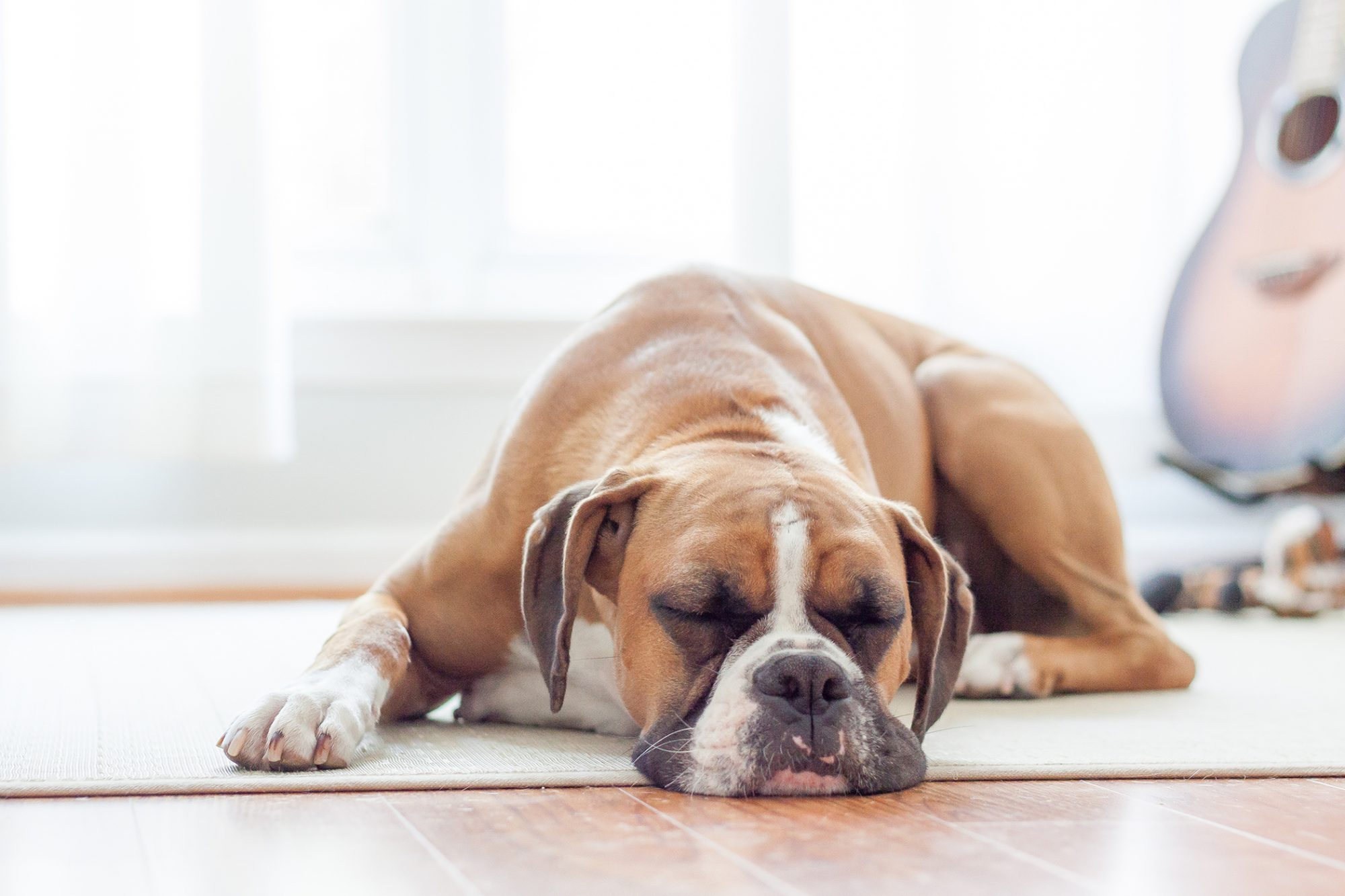 boxer sleeping on floor