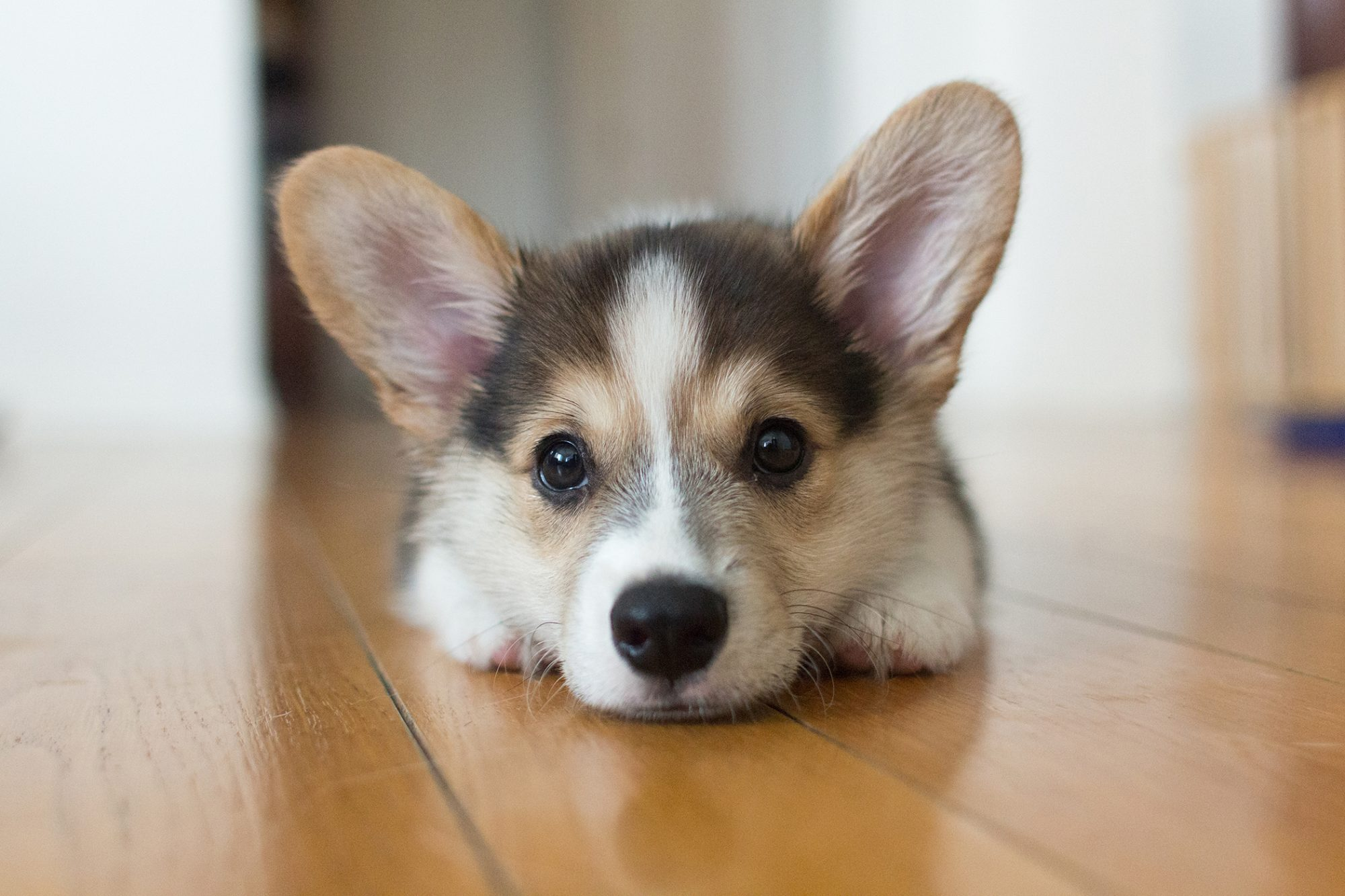 corgi puppy lying on the floor