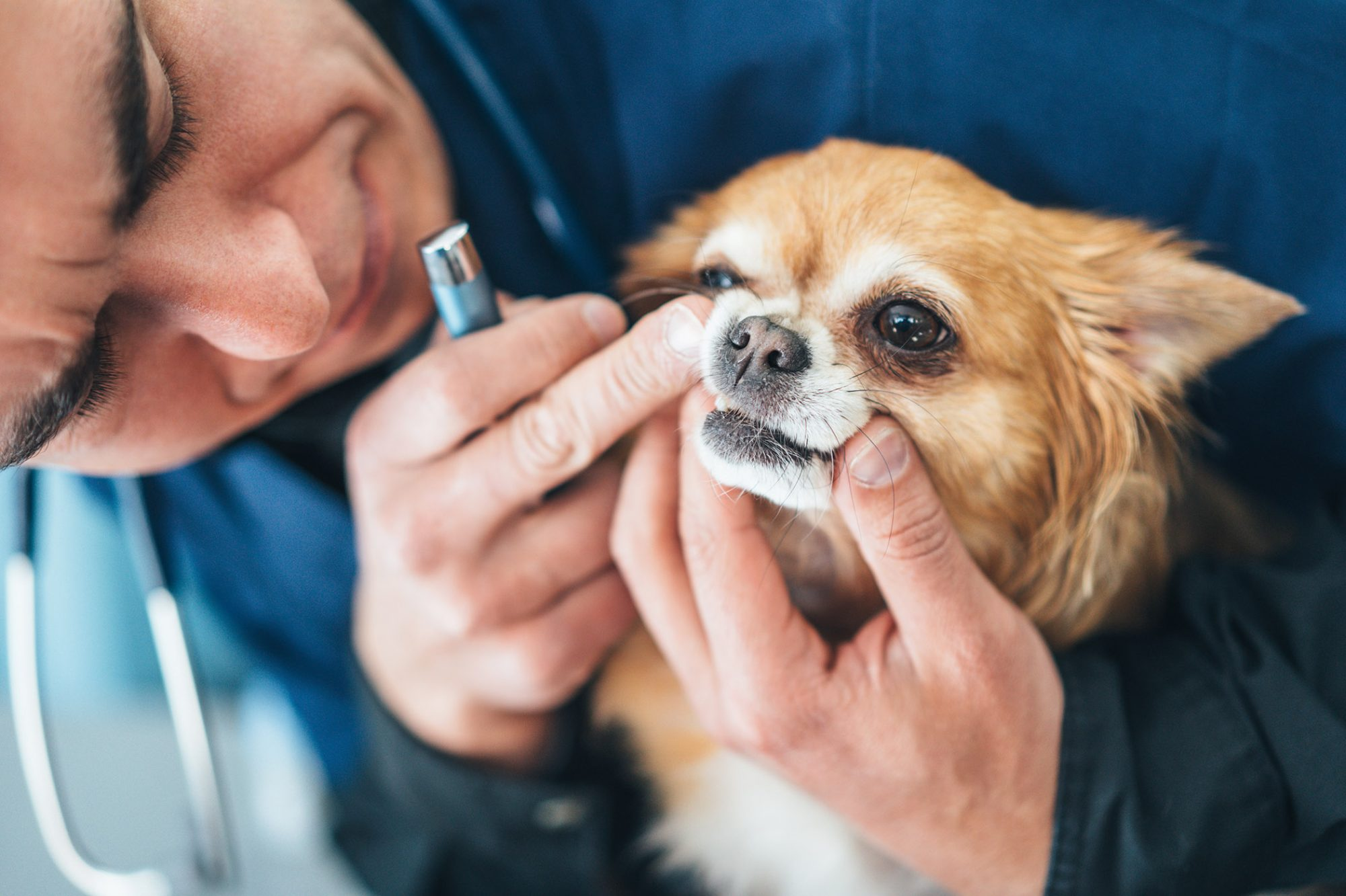 vet looking at dog's teeth