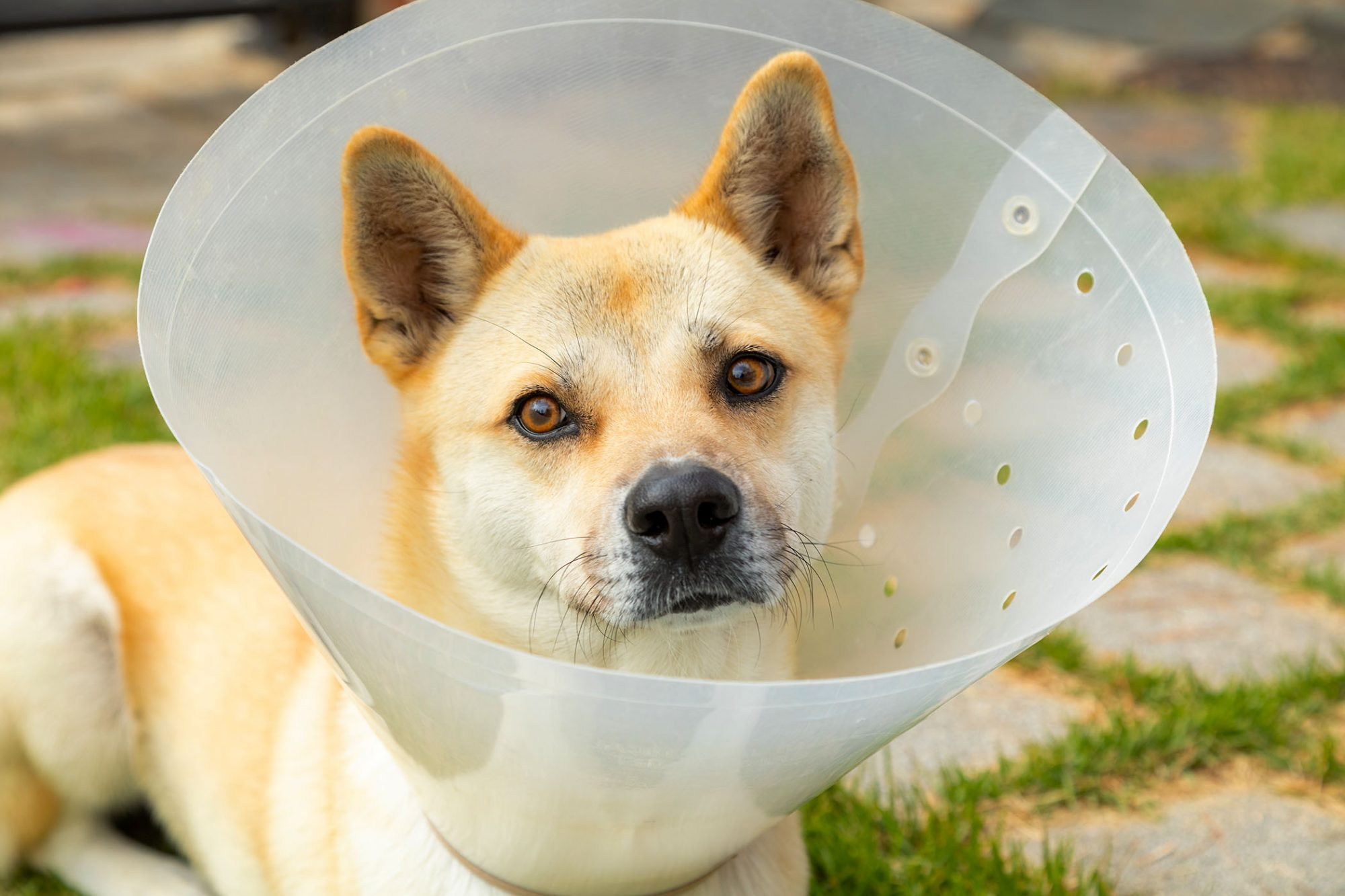 dog wearing e-collar or cone after surgery