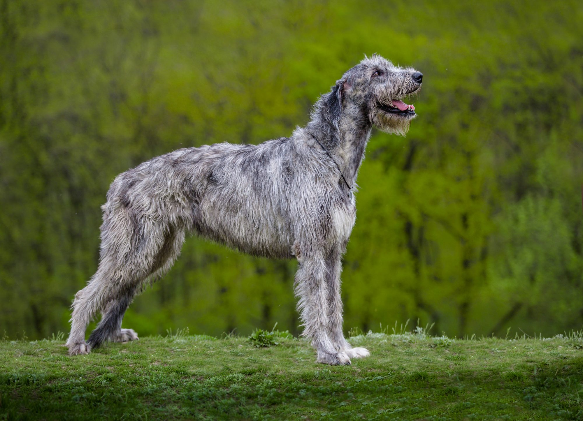 gray irish wolfhound agains green background