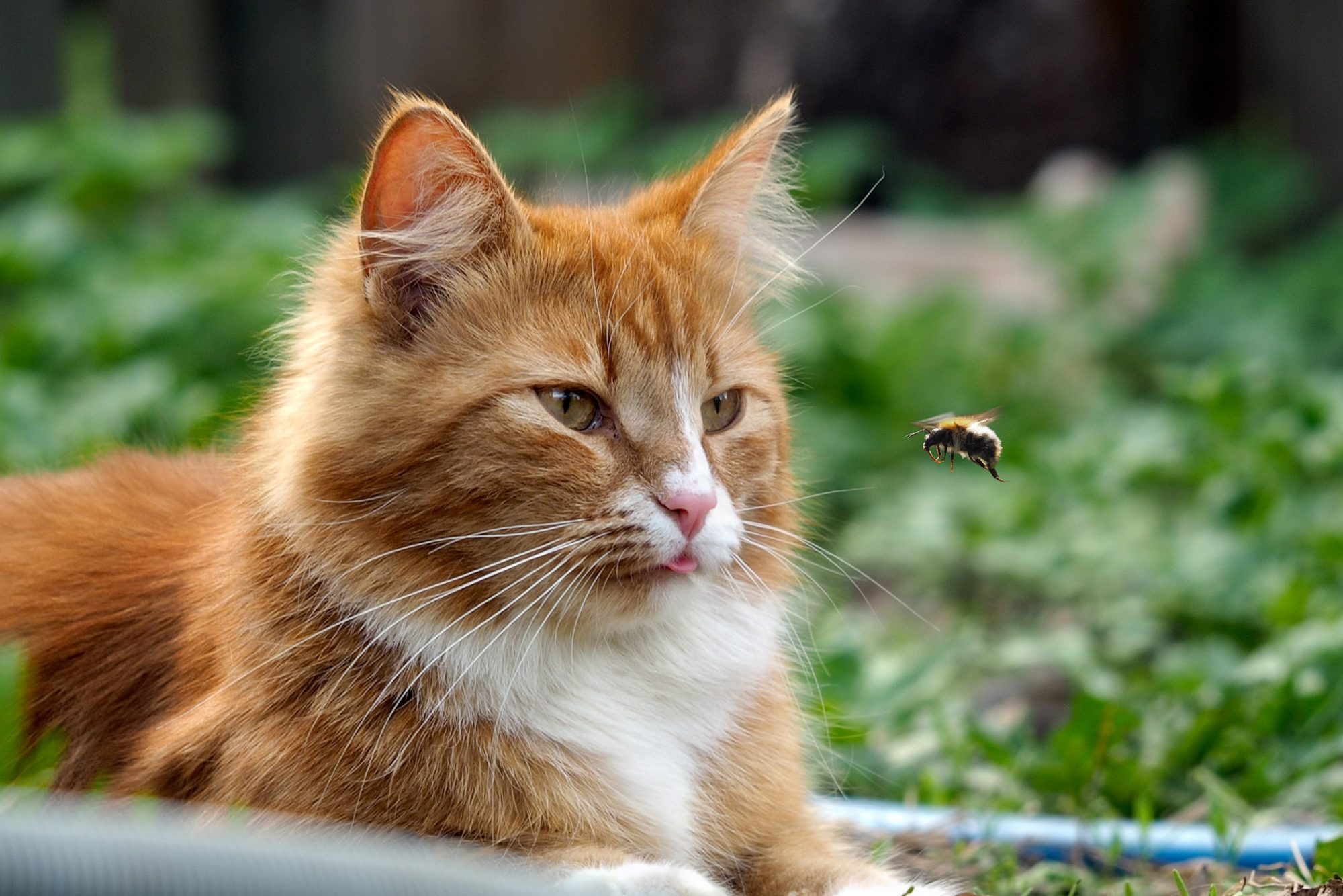 orange cat watching a bee