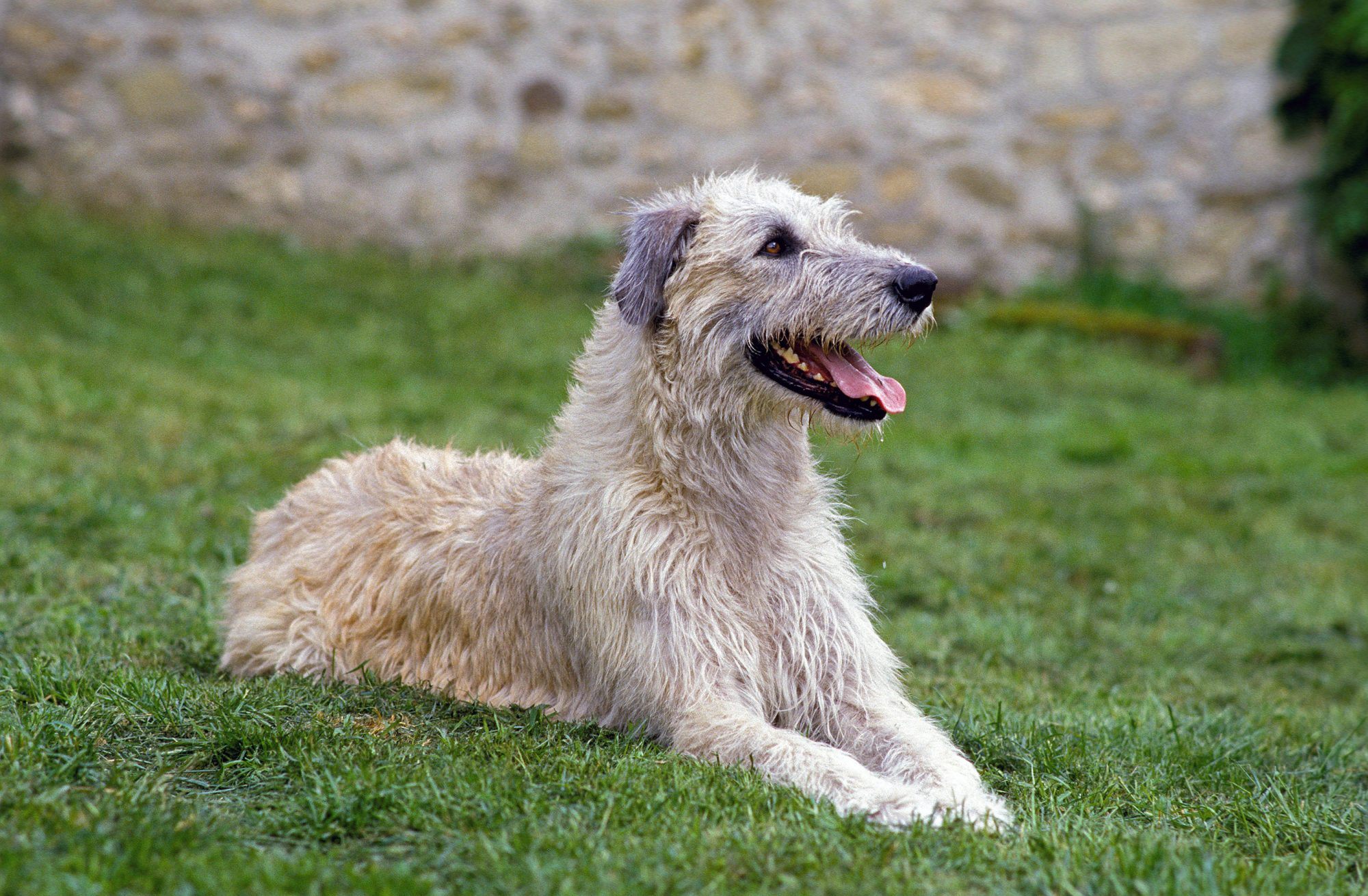 wheaten irish wolfhound lying on grass