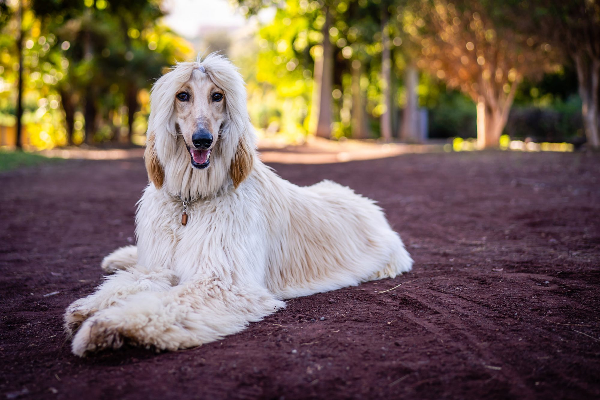 afghan hound with shorter hair lying on ground