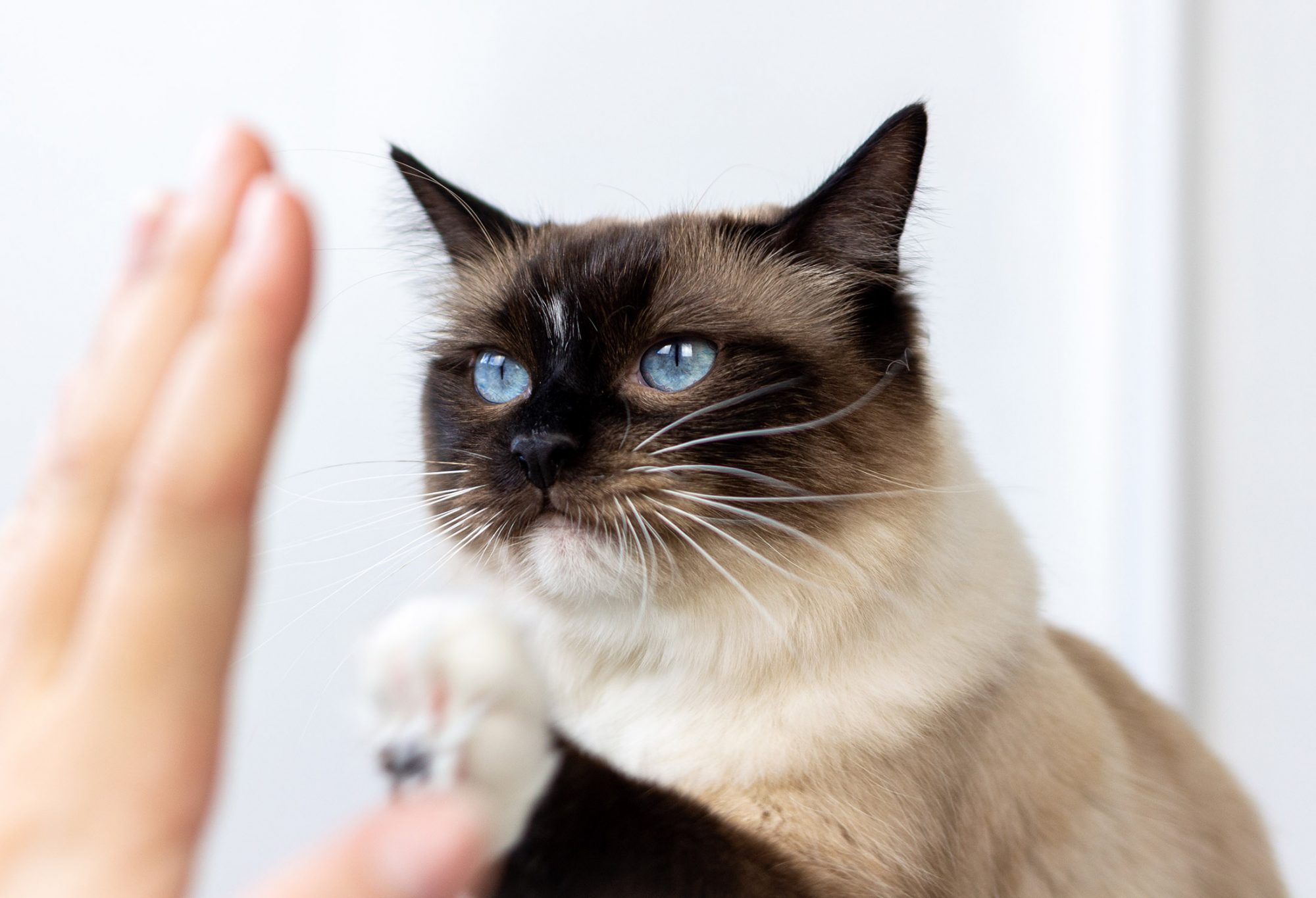 cat watching woman's hand