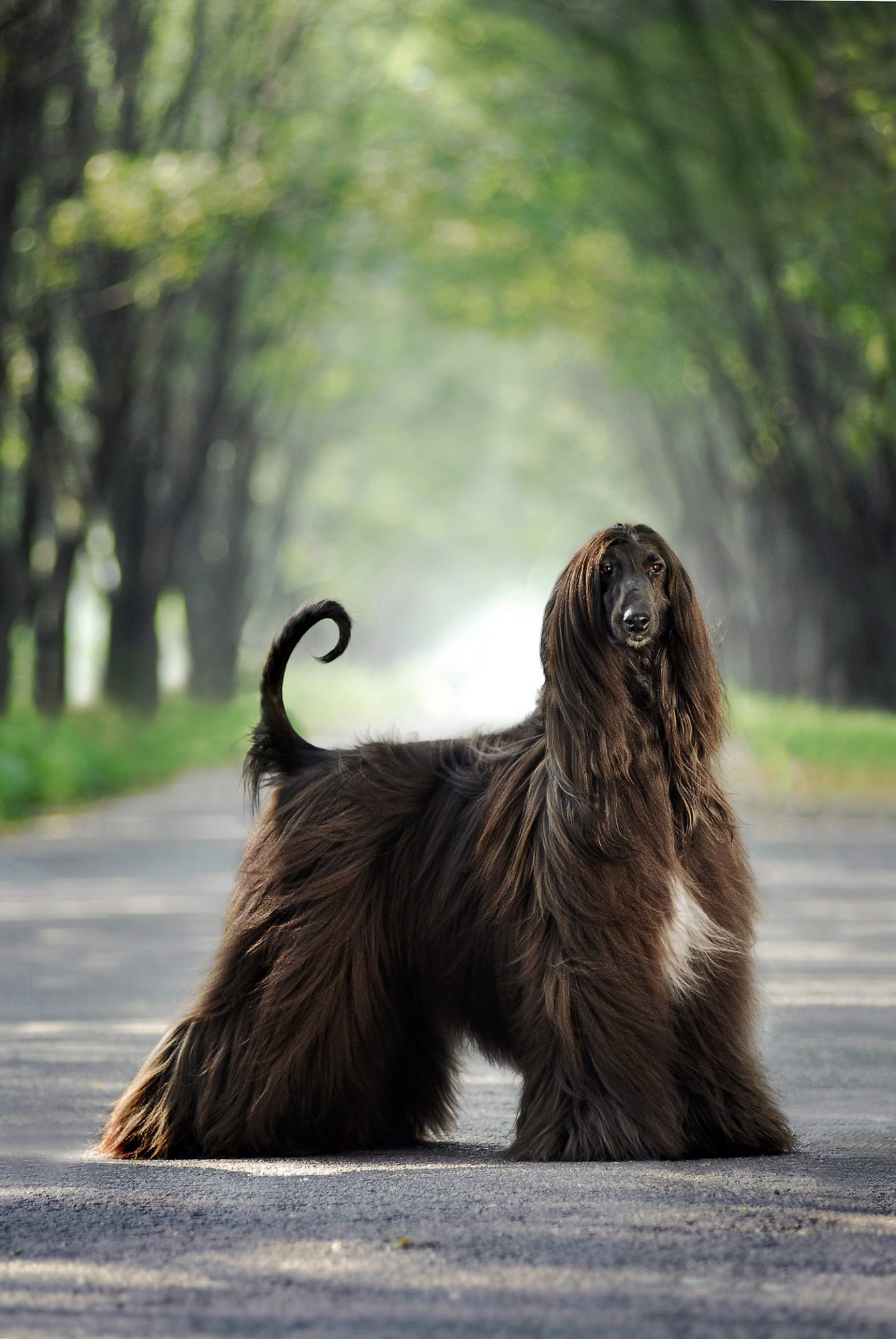 chocolate brown afghan hound standing