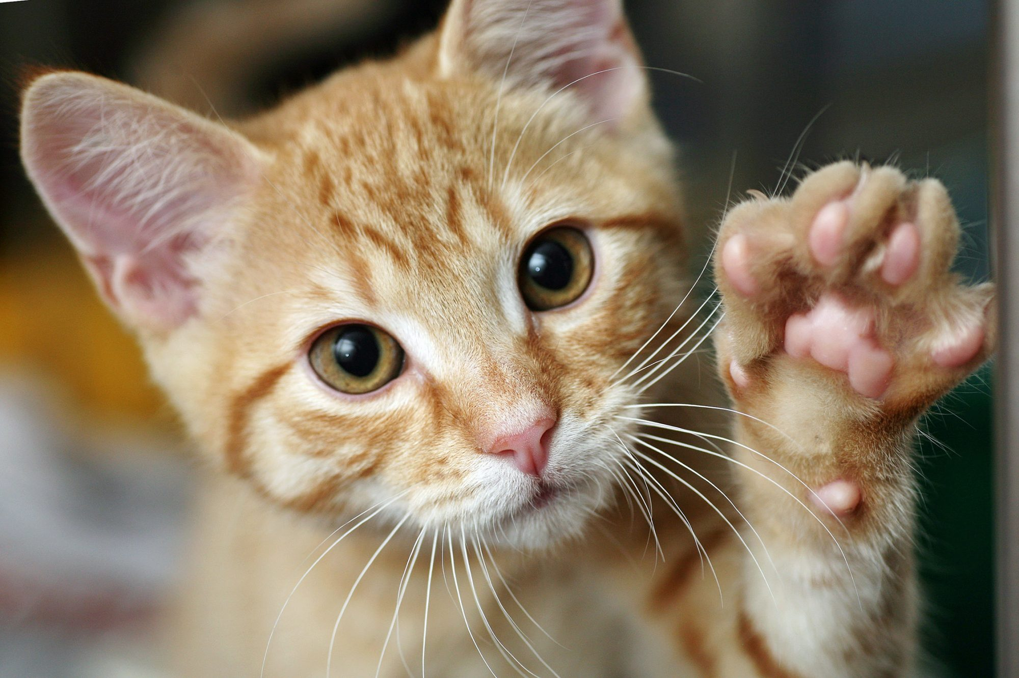 orange tabby cat giving high five