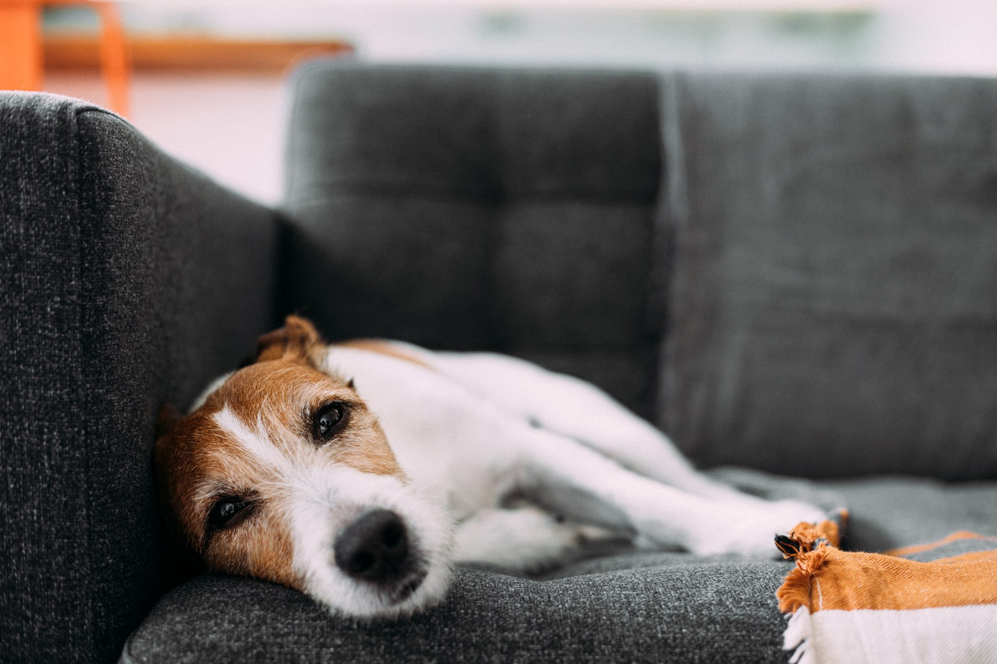 parson or jack russell terrier lying on couch