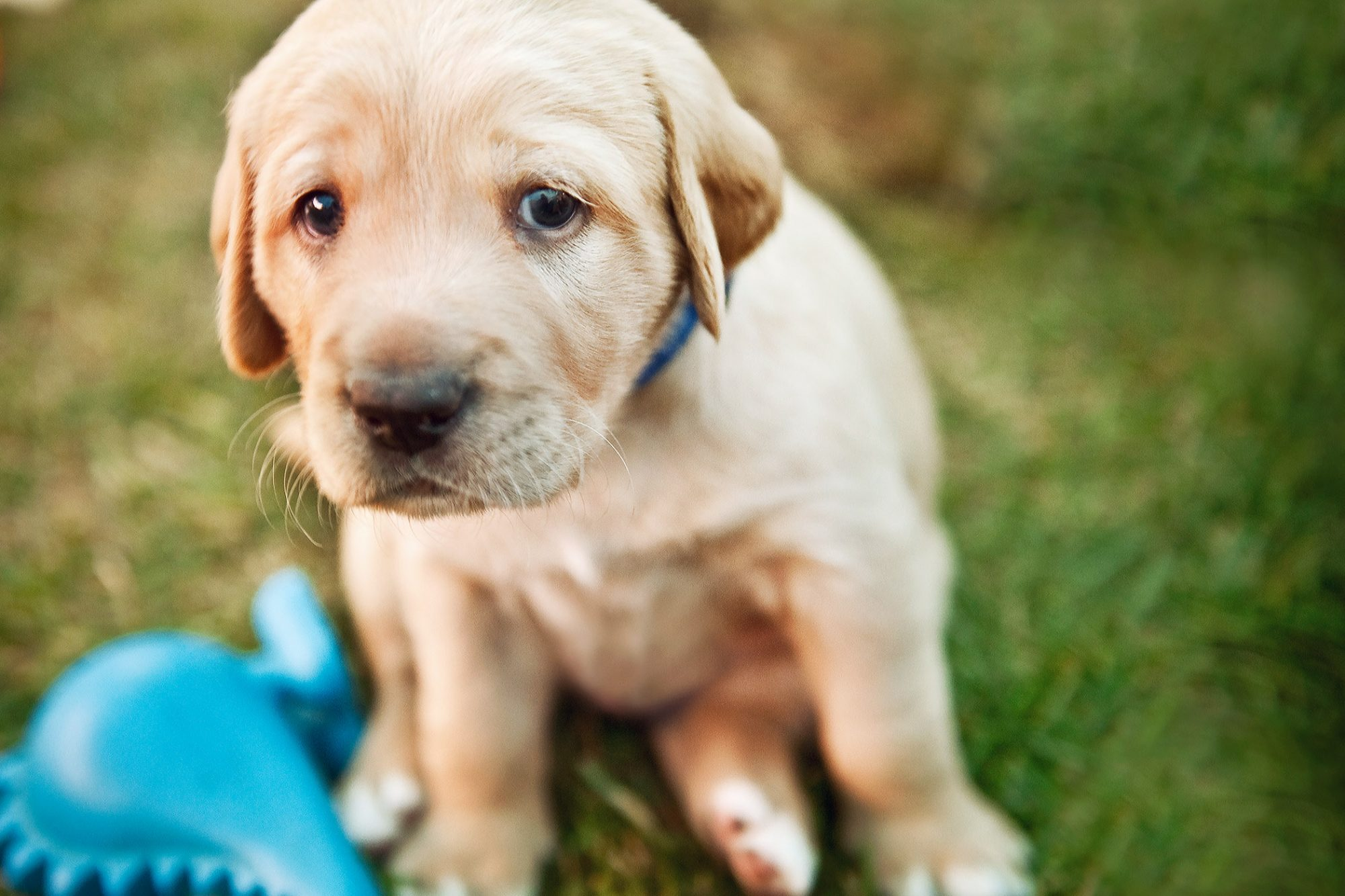 sad looking labrador retriever puppy