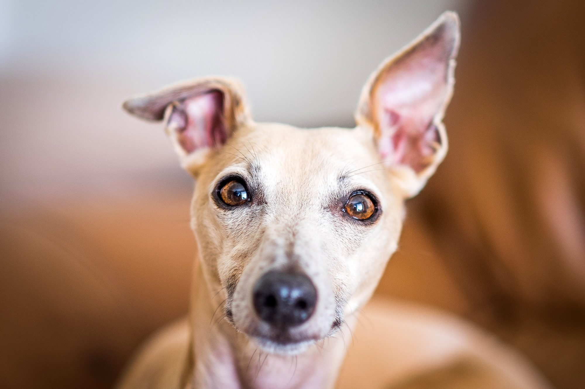 whippet with big ears