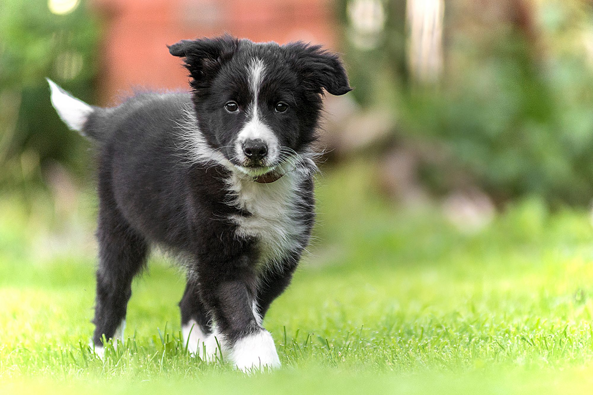 border collie puppy walking in grass