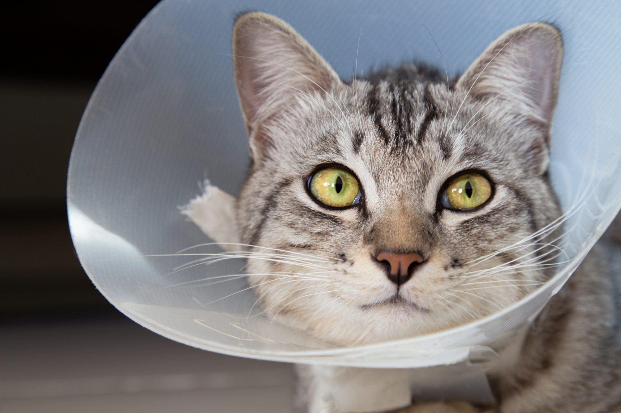cat wearing cone or e-collar