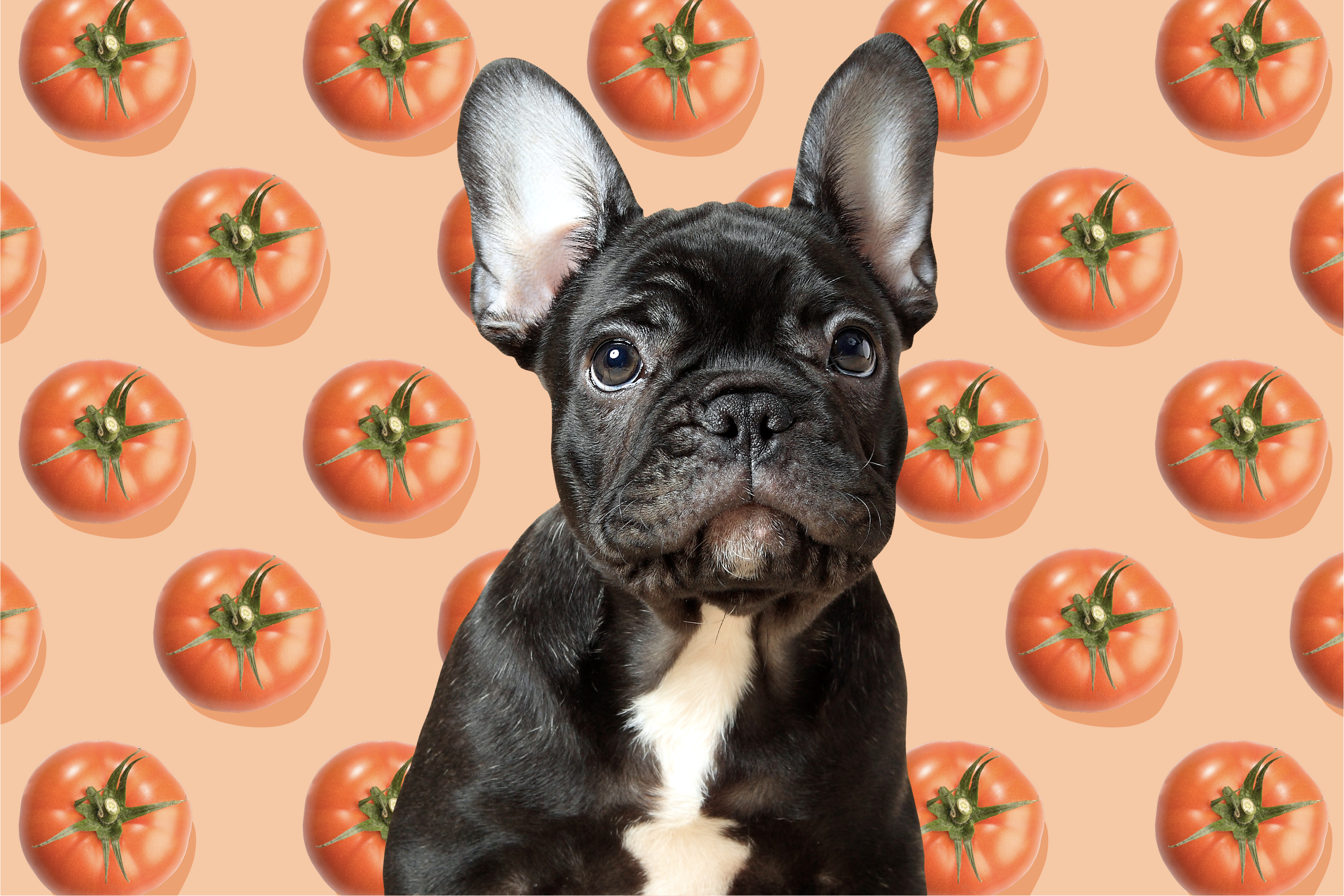 illustration of french bulldog with toatoes