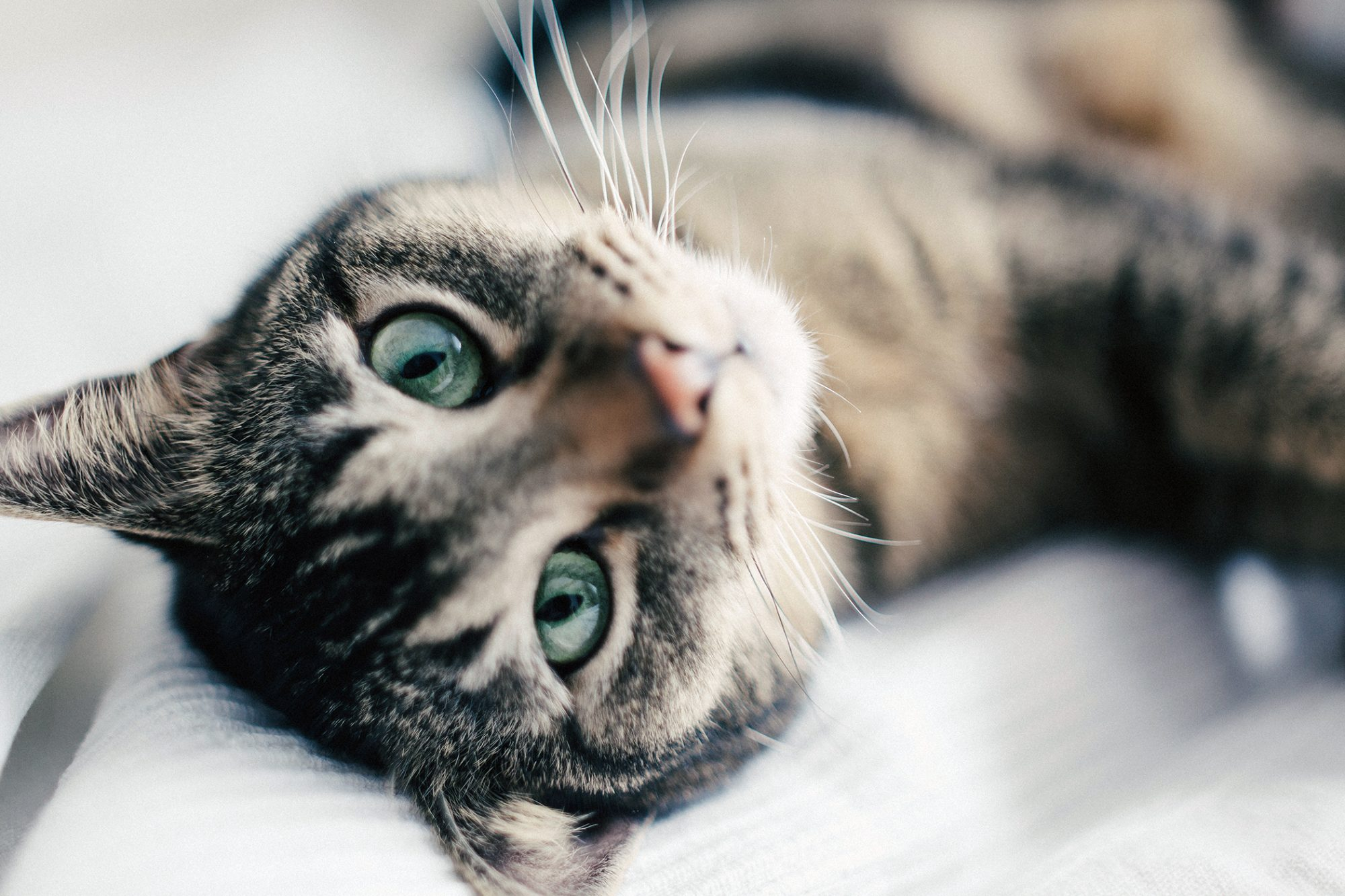 cat lying on back looking at camera