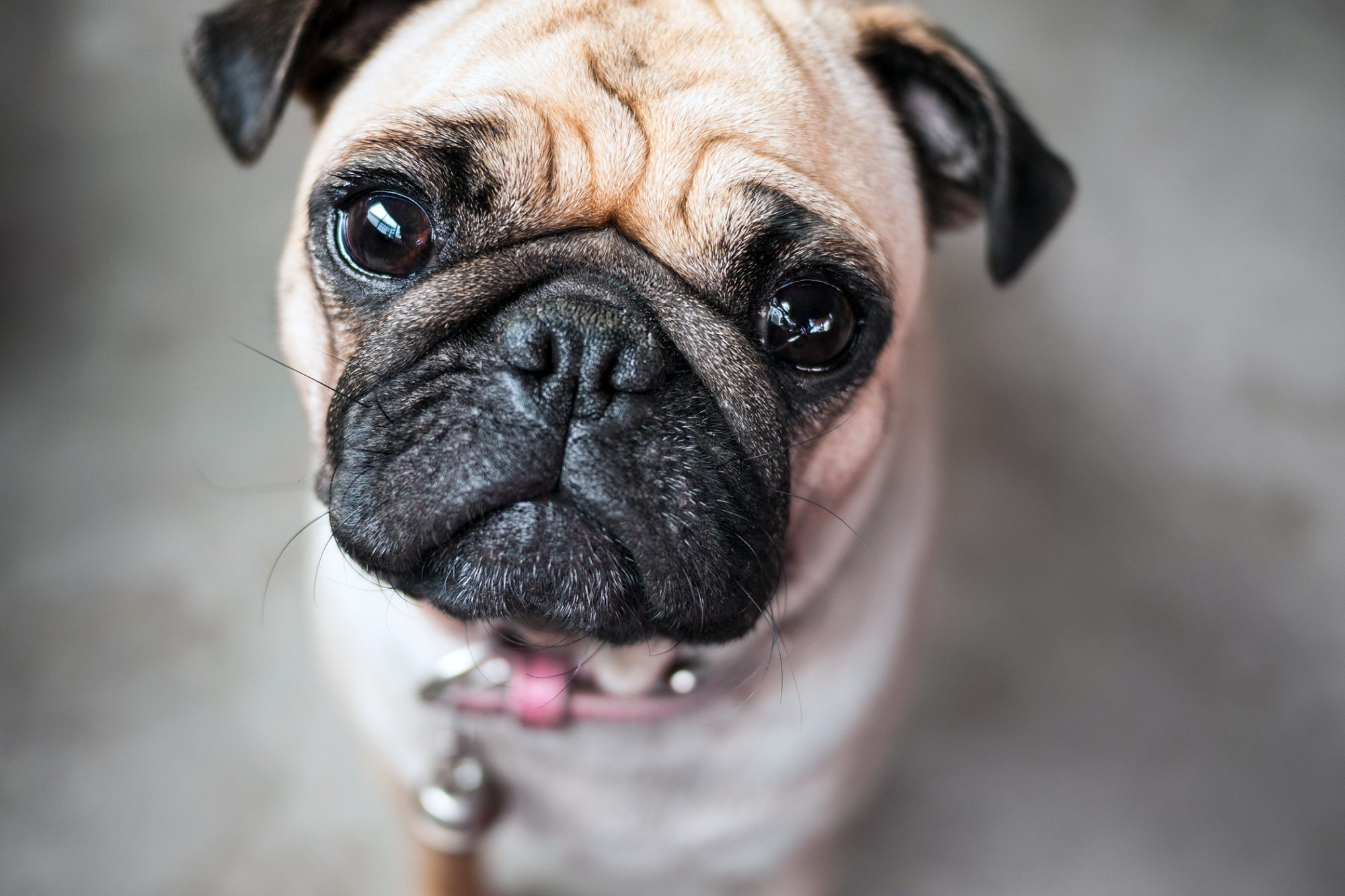 pug looking up at camera