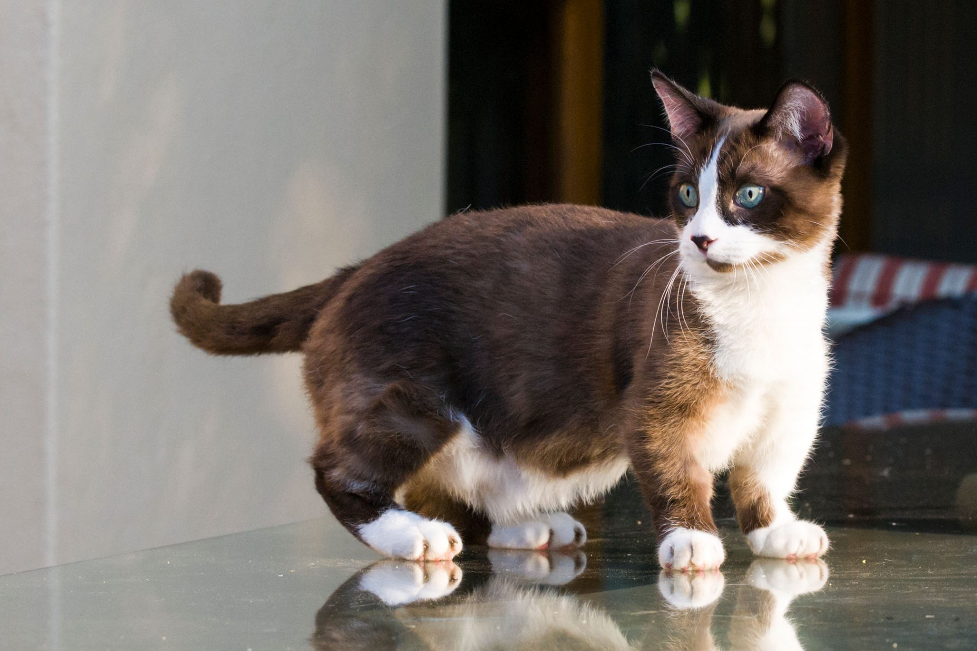 brown-and-white munchkin cat