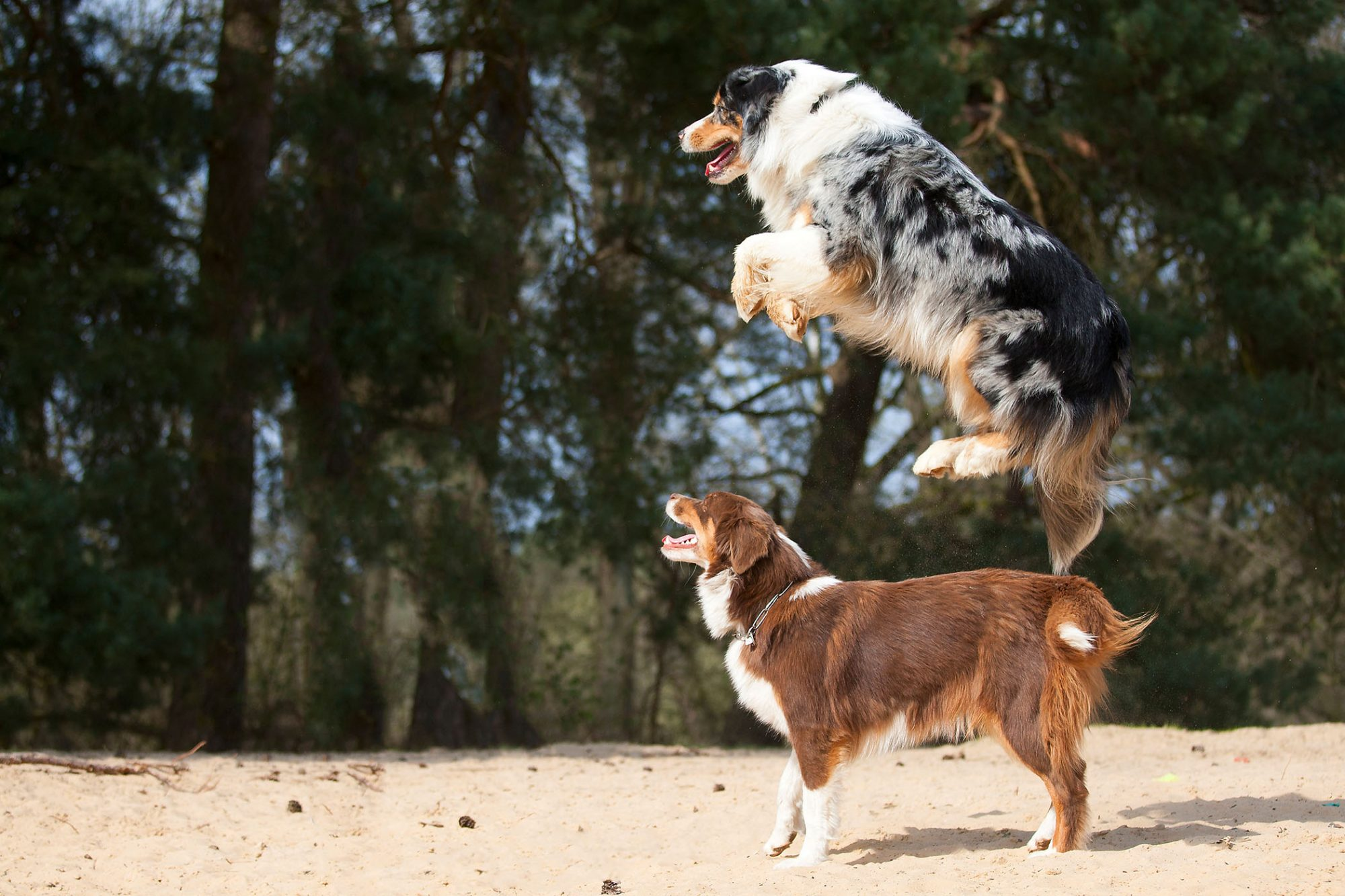 one australian shepherd humping over another one