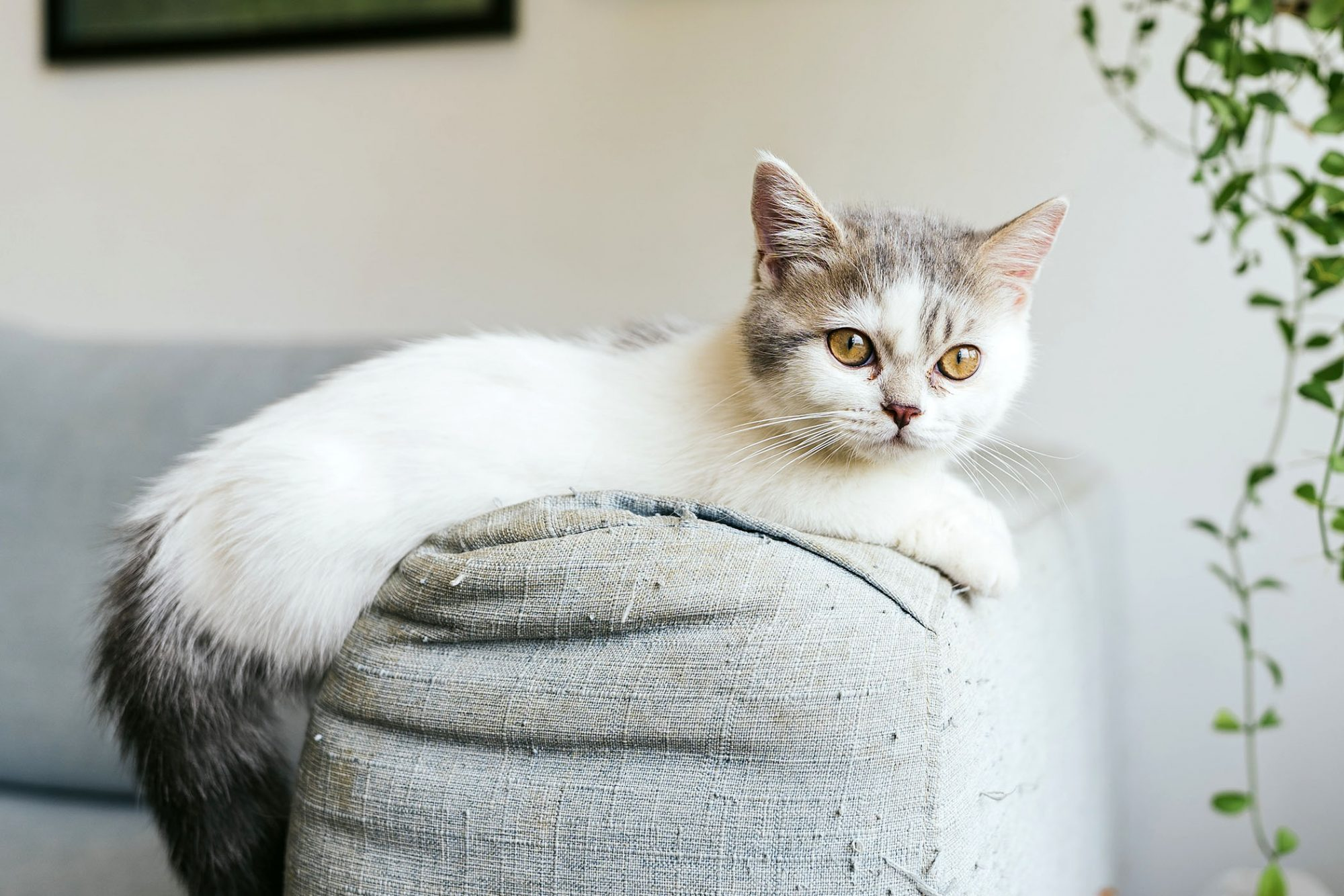 munchkin cat on couch