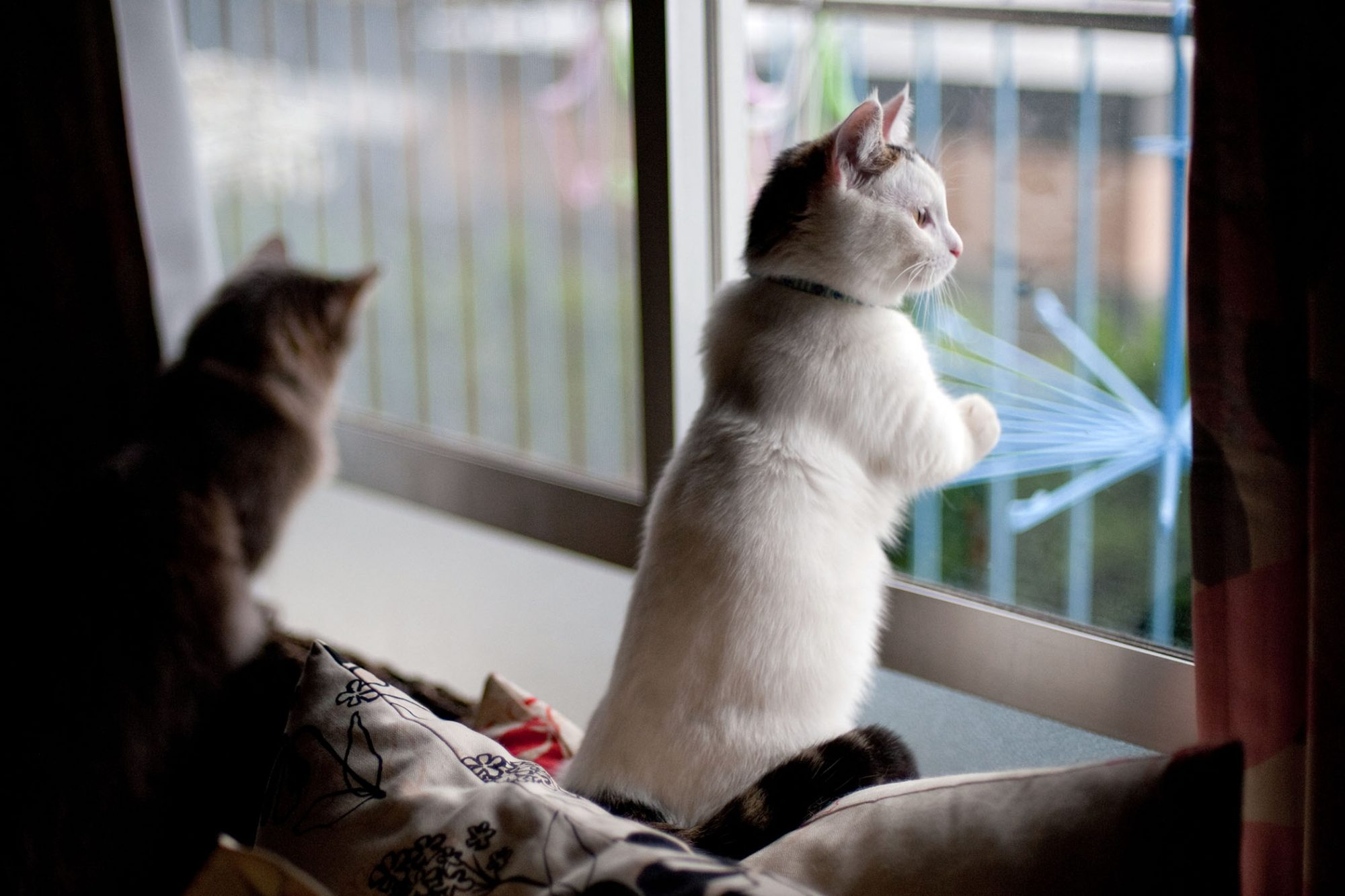 munchkin cat standing looking out window