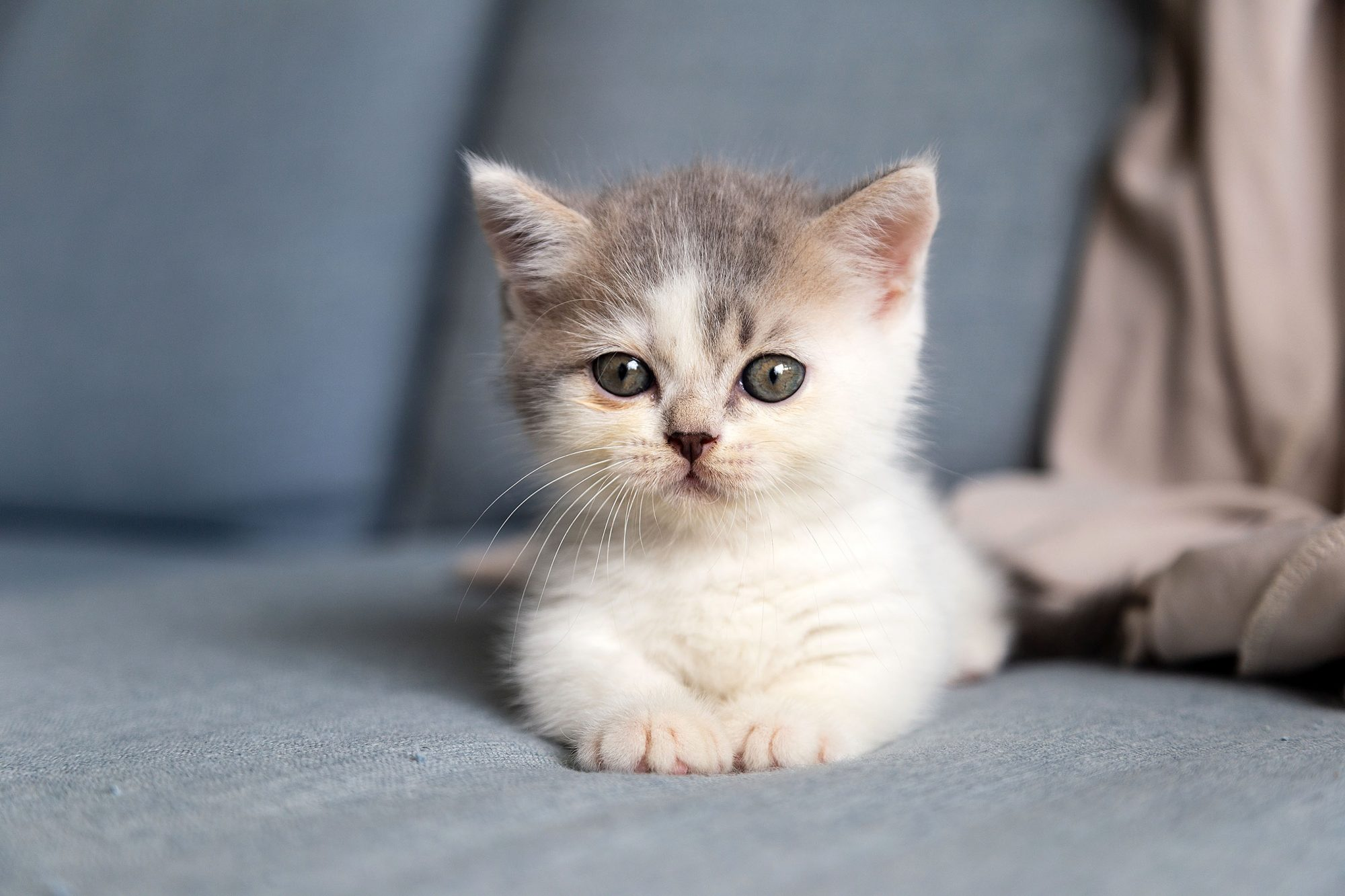 Munchkin Cat Breed Information & Characteristics | Daily Paws