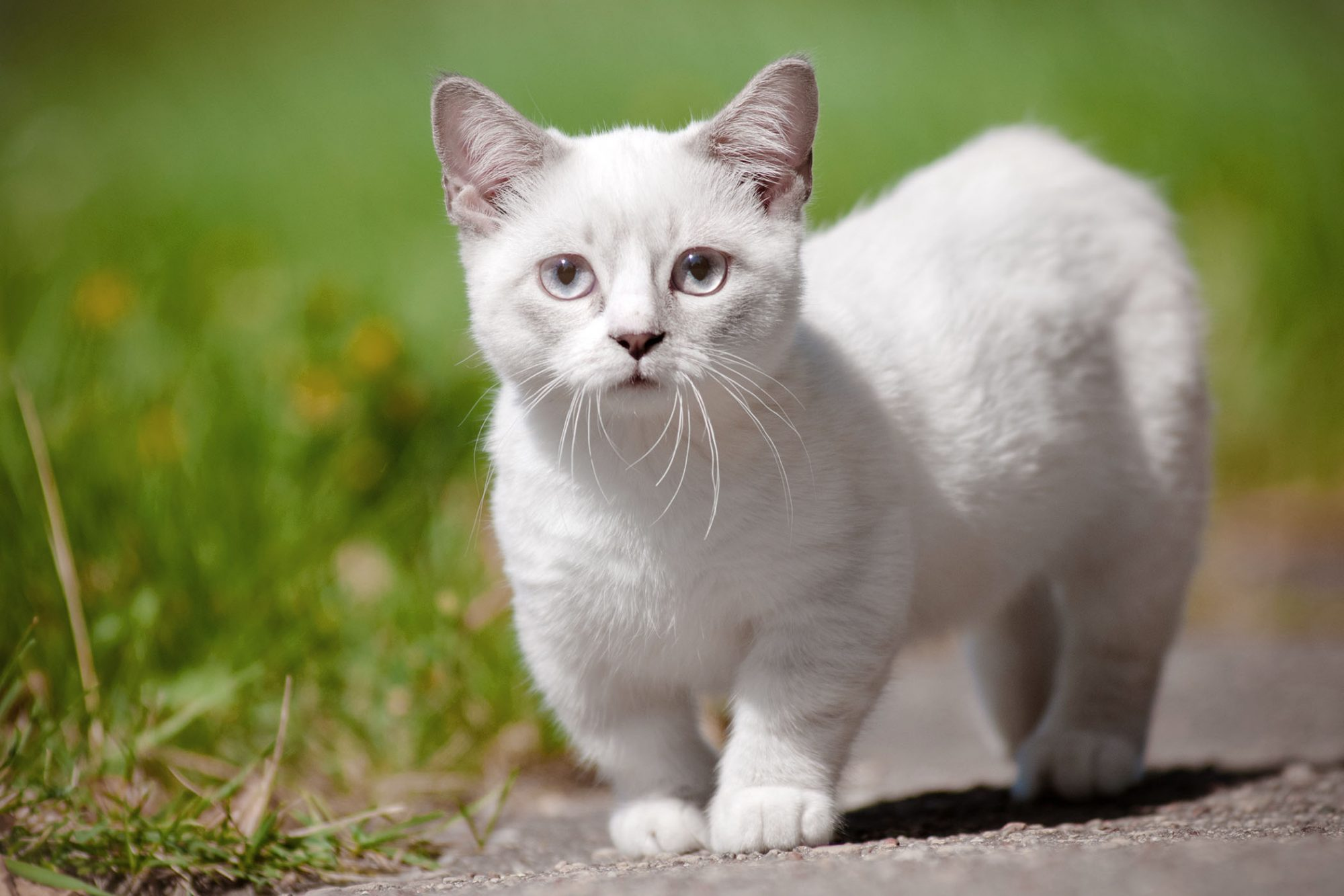 white munchkin cat outside